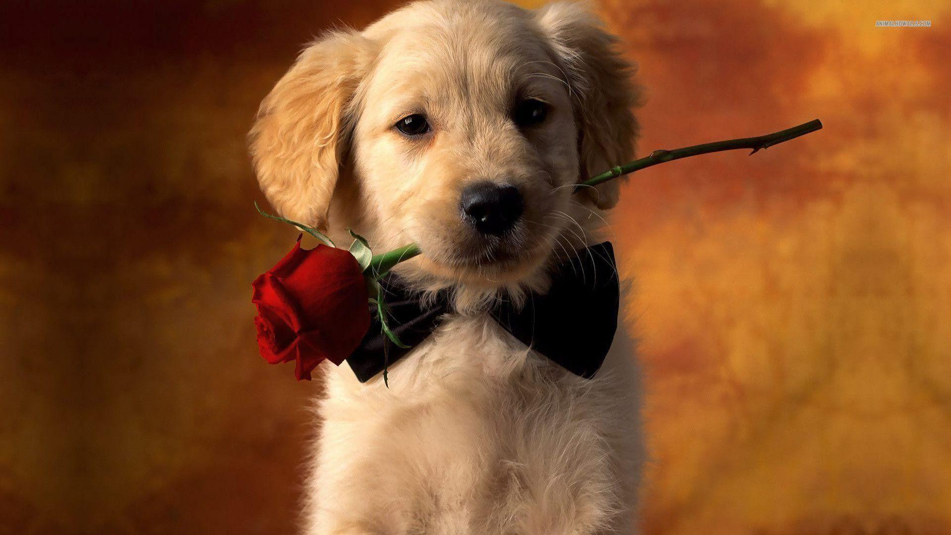 Golden Retriever Puppy Wallpapers Top Free Golden Retriever Puppy Backgrounds Wallpaperaccess