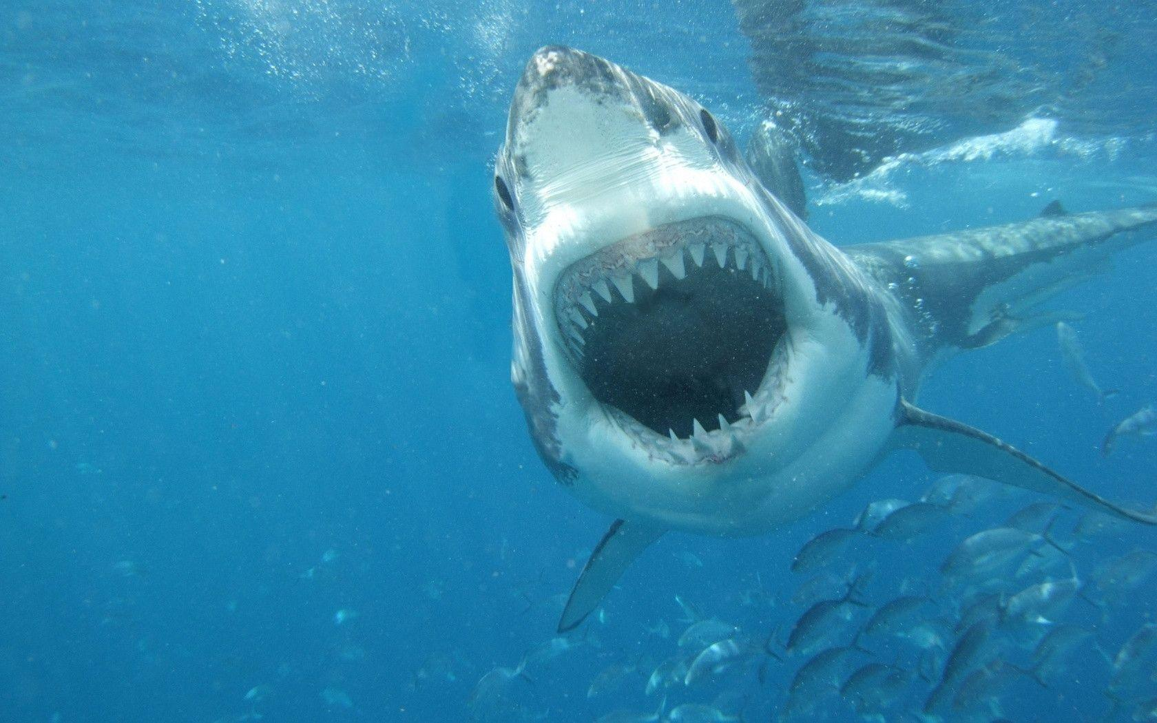 Great White Shark Wallpapers Top Free Great White Shark