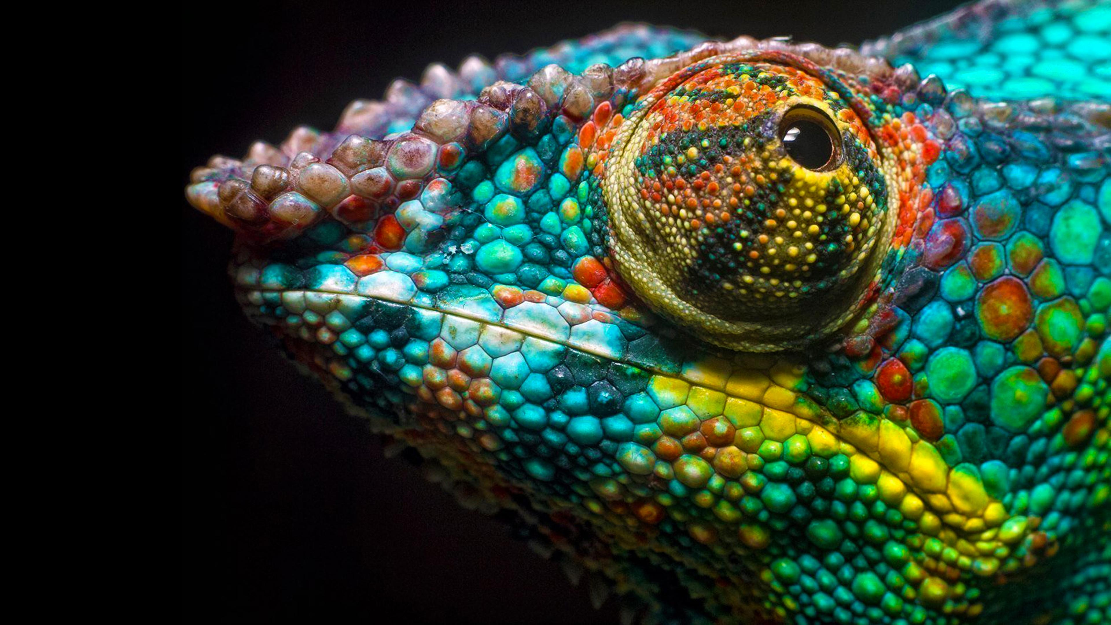 Colorful Chameleon Wallpapers Top Free Colorful Chameleon