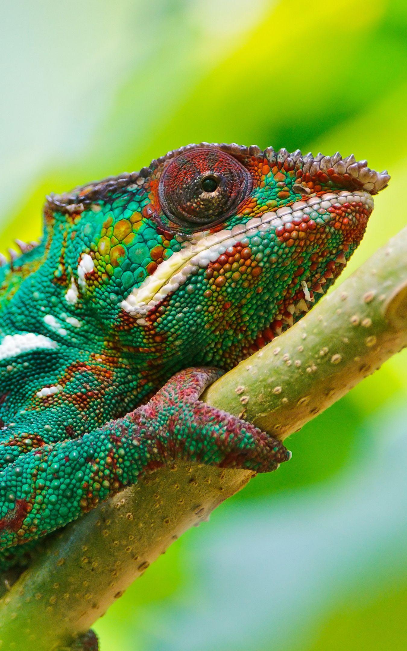 4k chameleon wallpapers  top free 4k chameleon