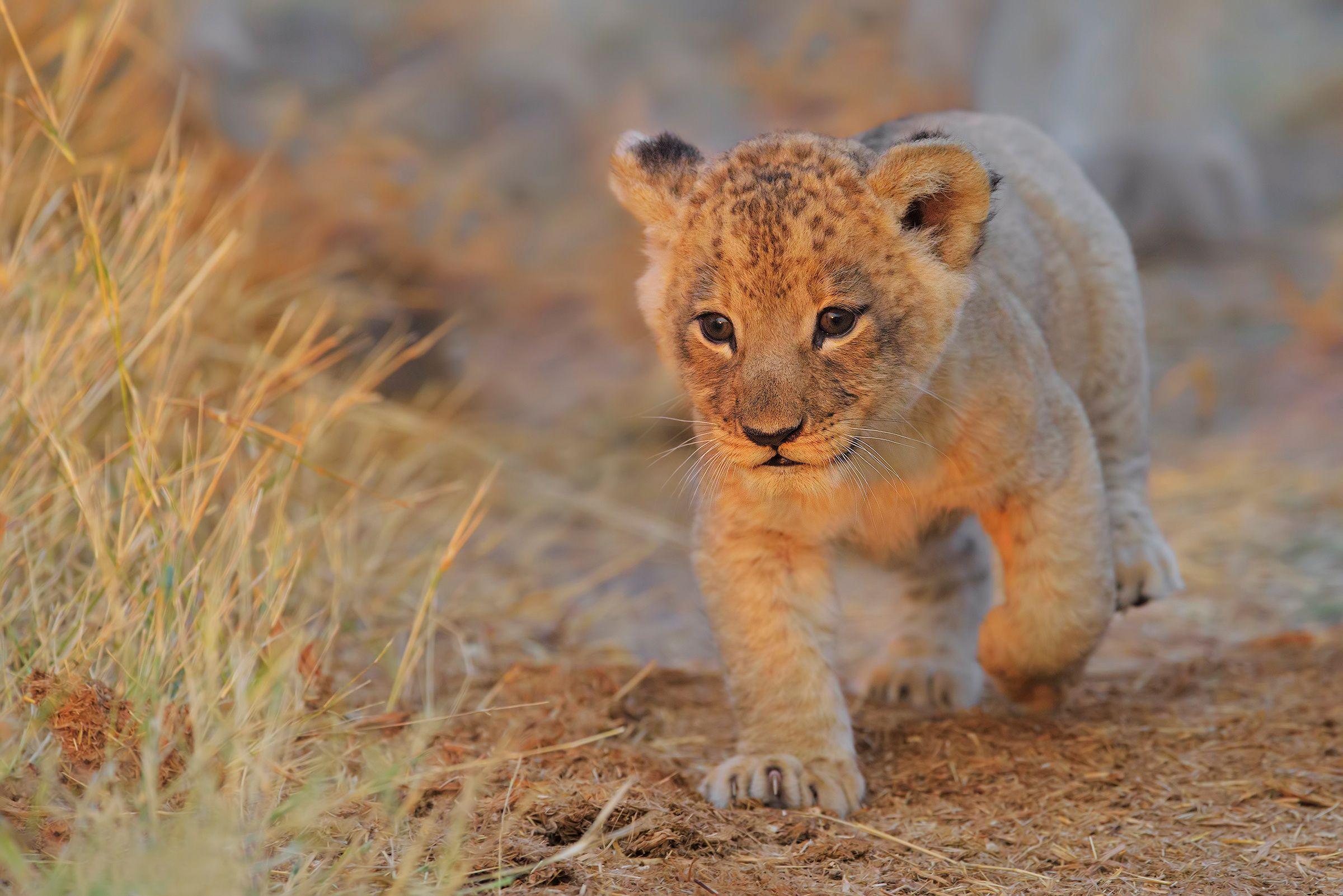 Lion Cub Wallpapers Top Free Lion Cub Backgrounds
