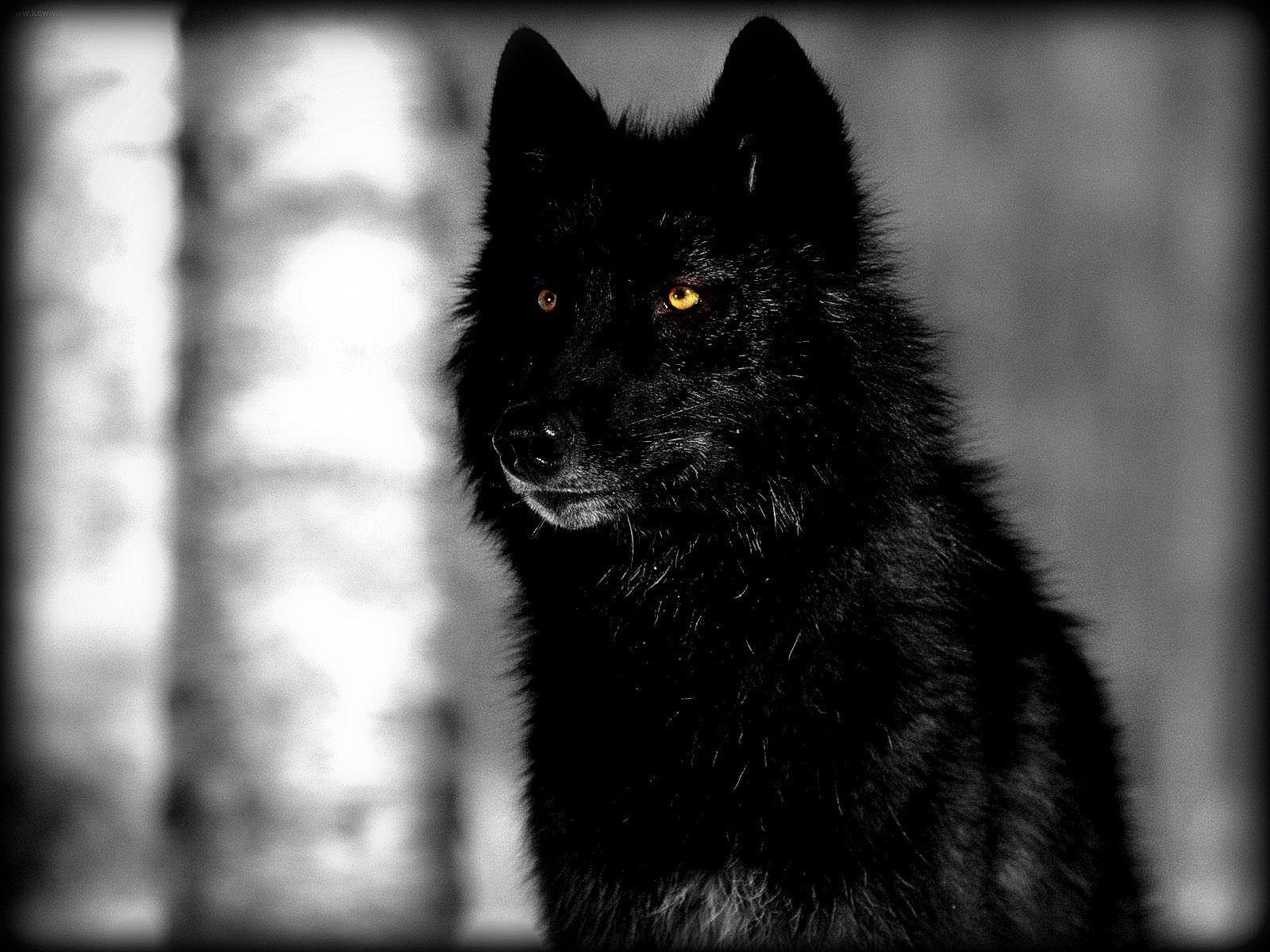 Black Wolves Wallpapers Top Free Black Wolves Backgrounds Wallpaperaccess