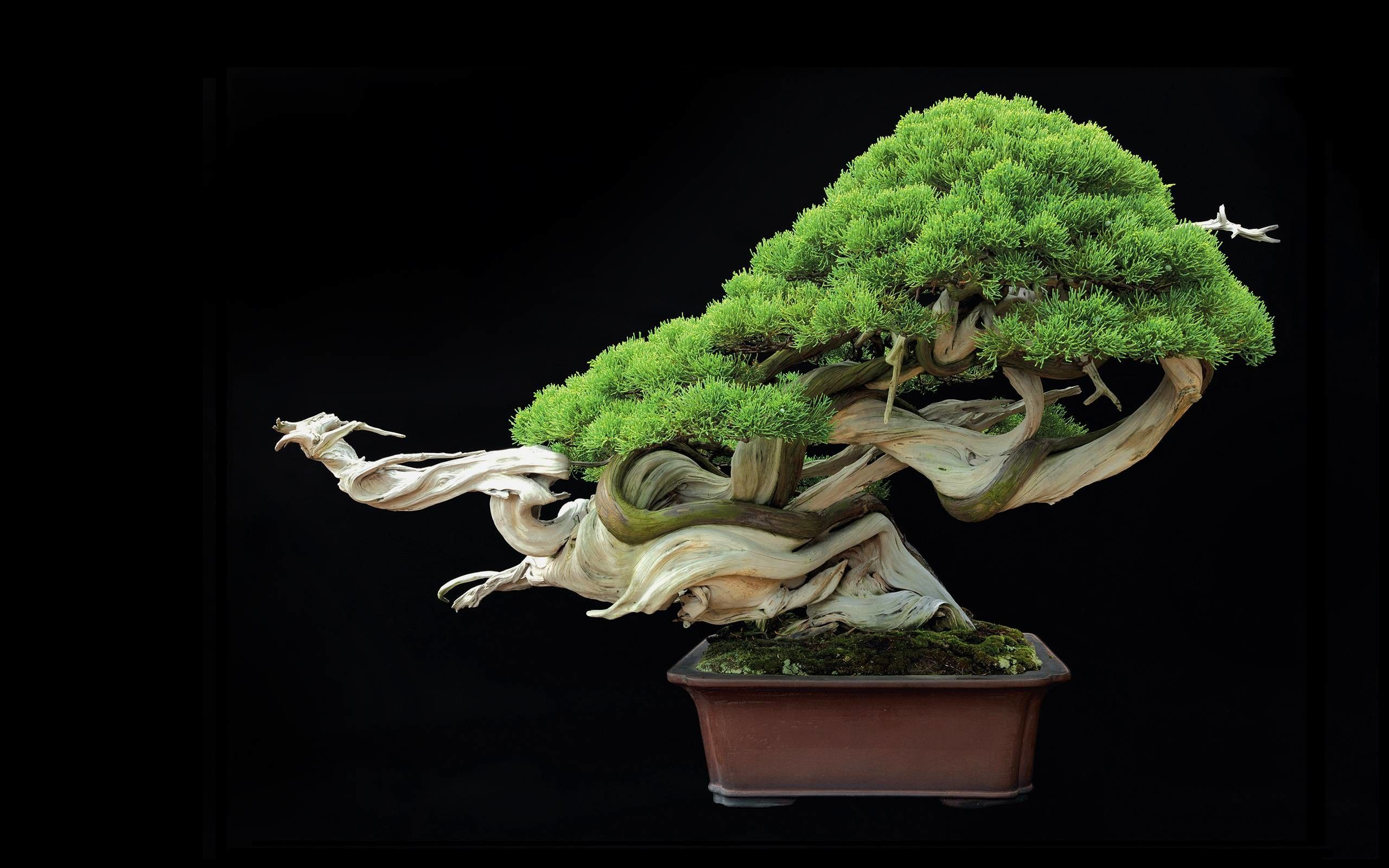 Bonsai Tree Wallpapers Top Free Bonsai Tree Backgrounds Wallpaperaccess