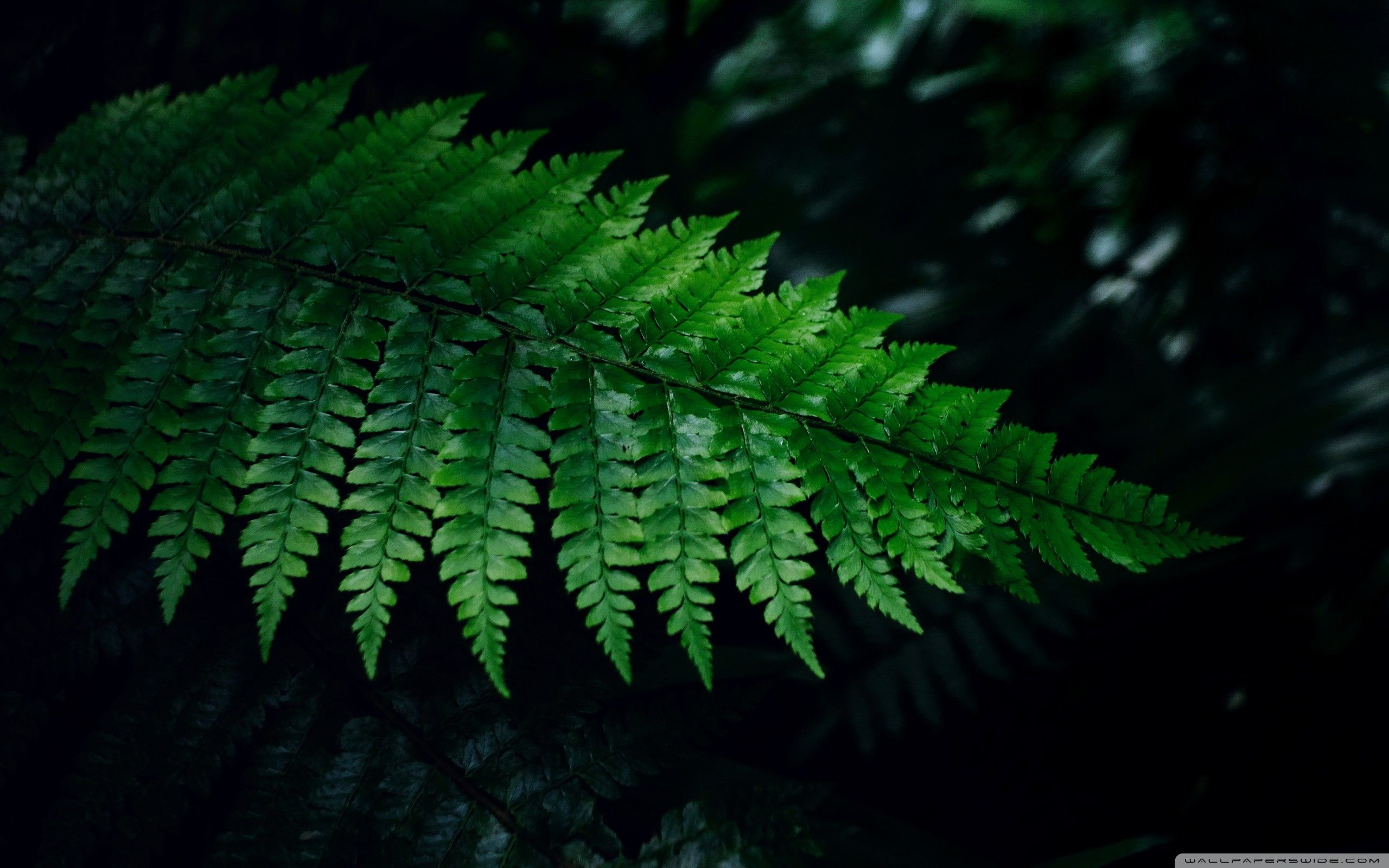 Fern Wallpapers Top Free Fern Backgrounds Wallpaperaccess