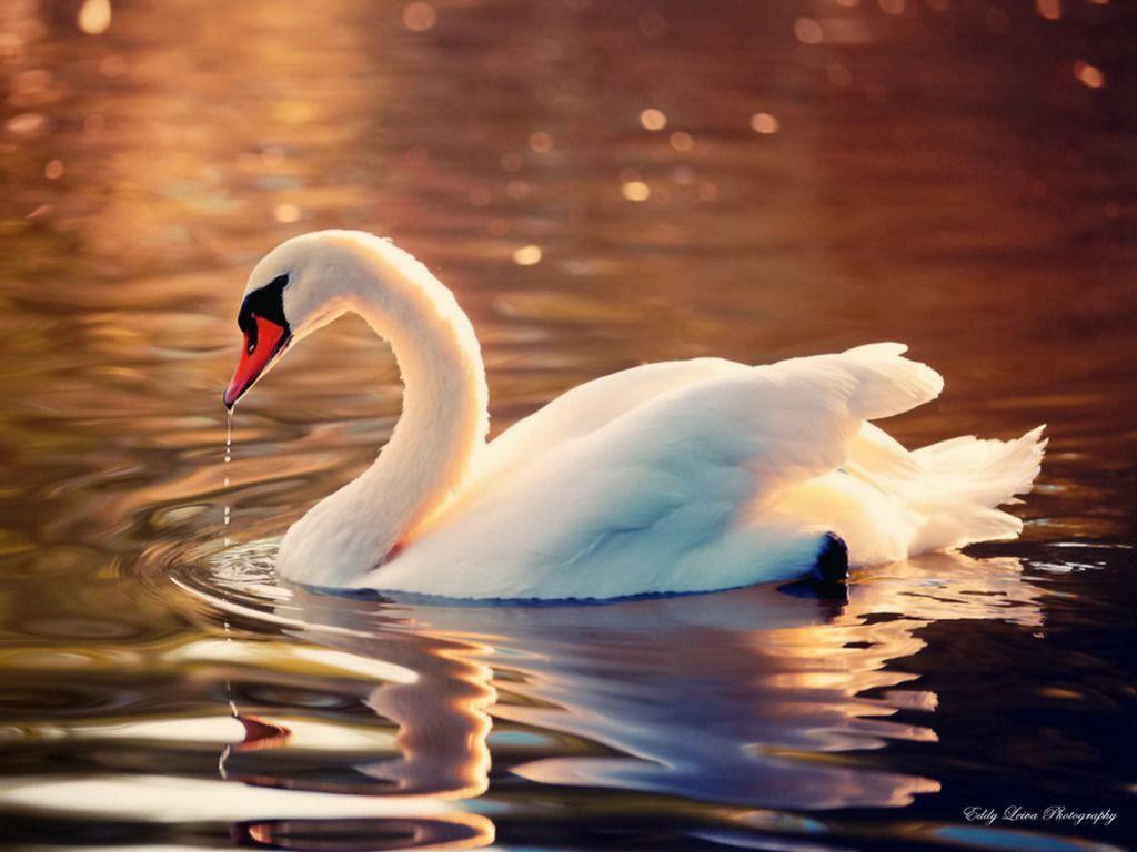 swan wallpapers top free swan