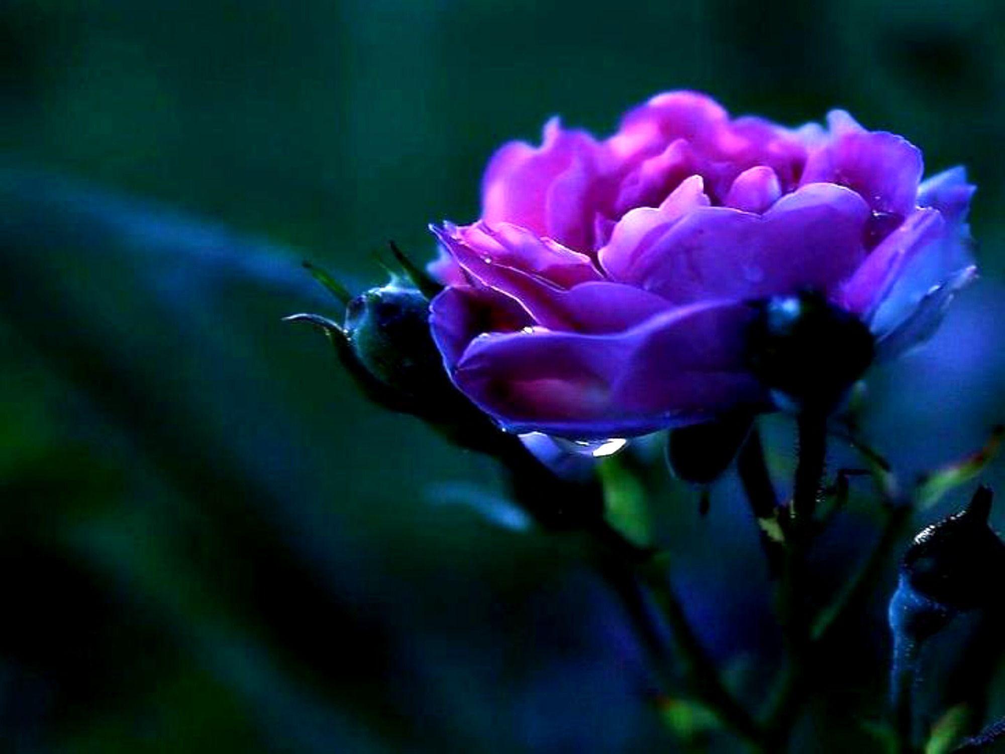 2000x1500 Violet Rose hình nền