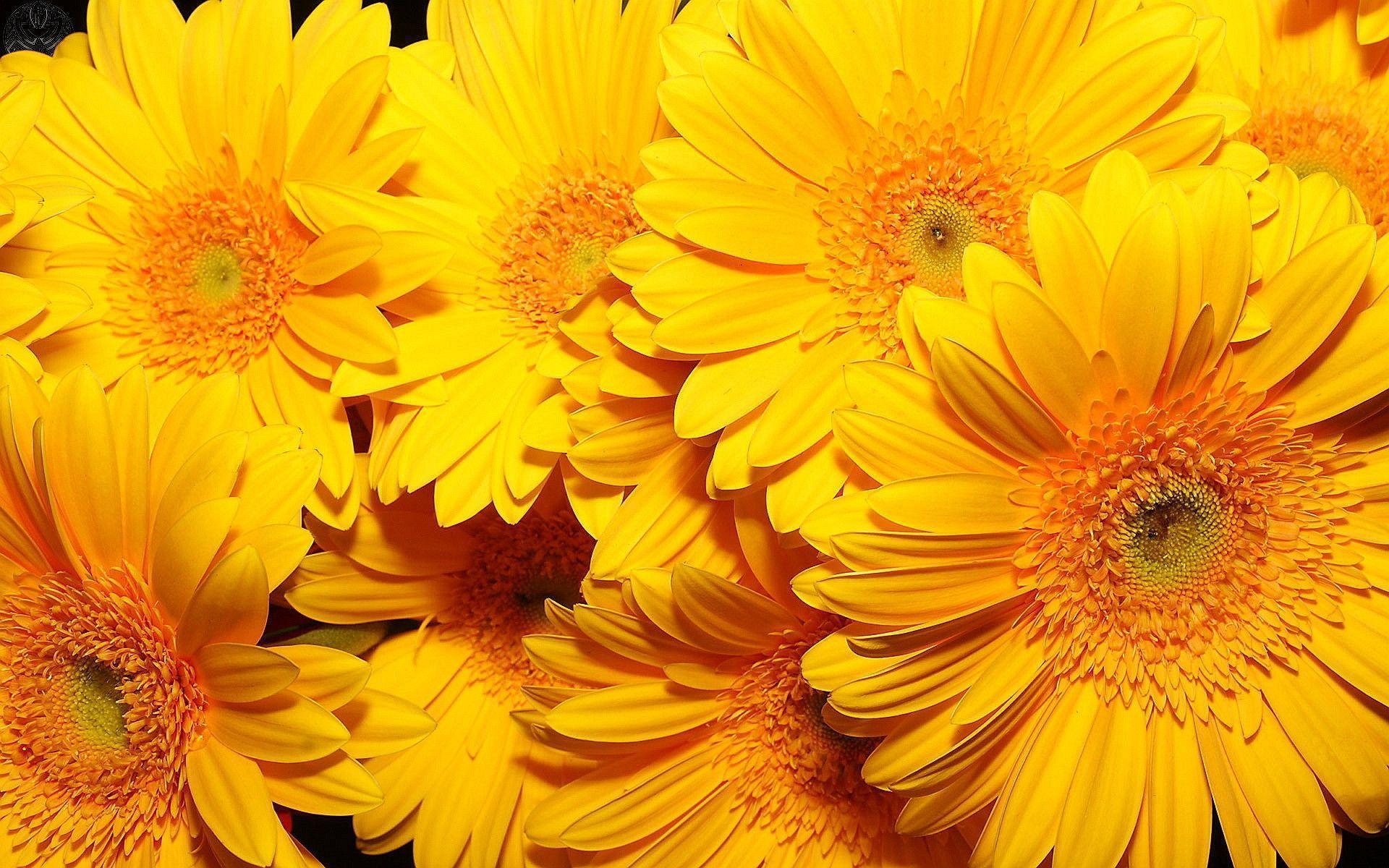 Hình nền hoa vàng 1920x1200
