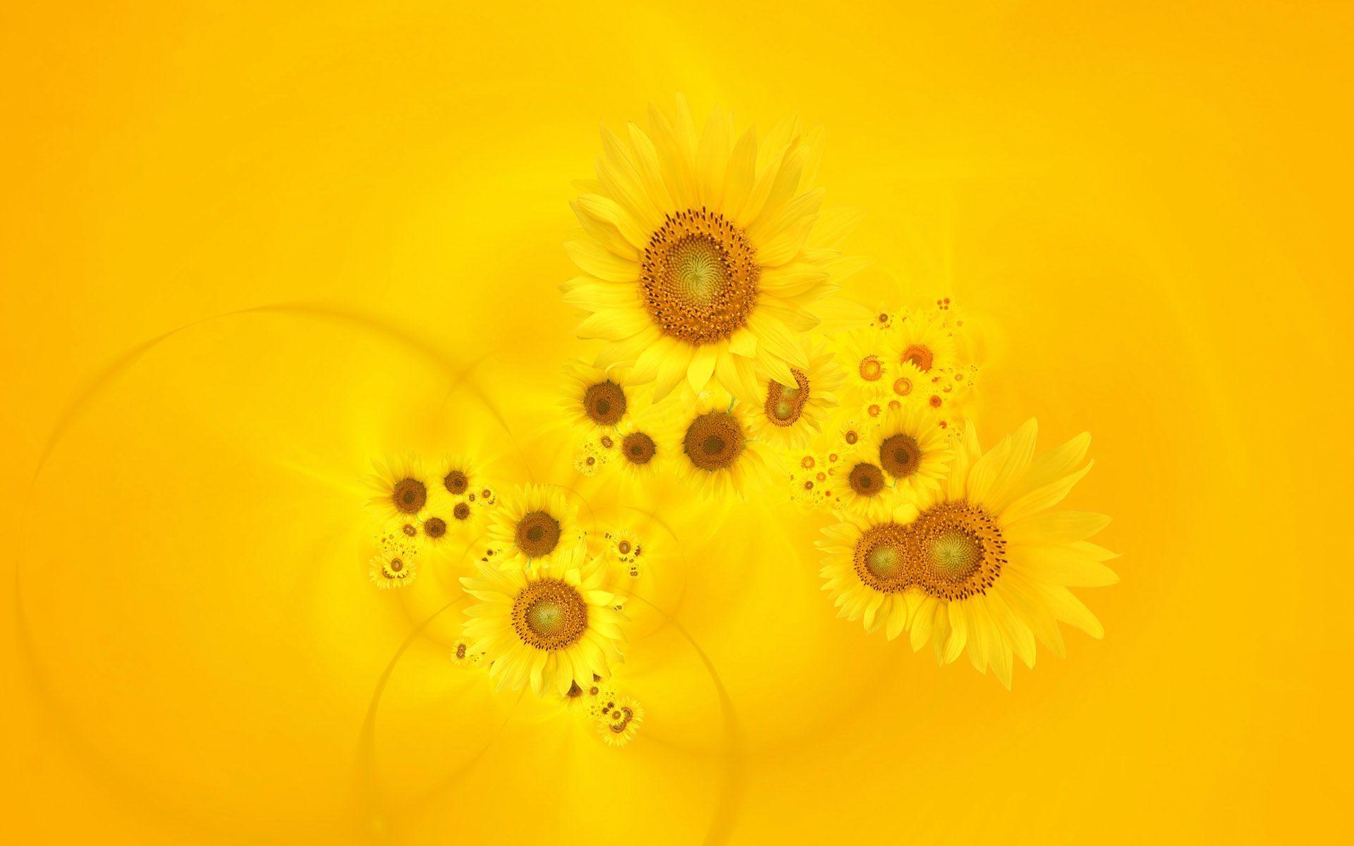 1920x1200 Hình nền hoa hướng dương vàng tươi