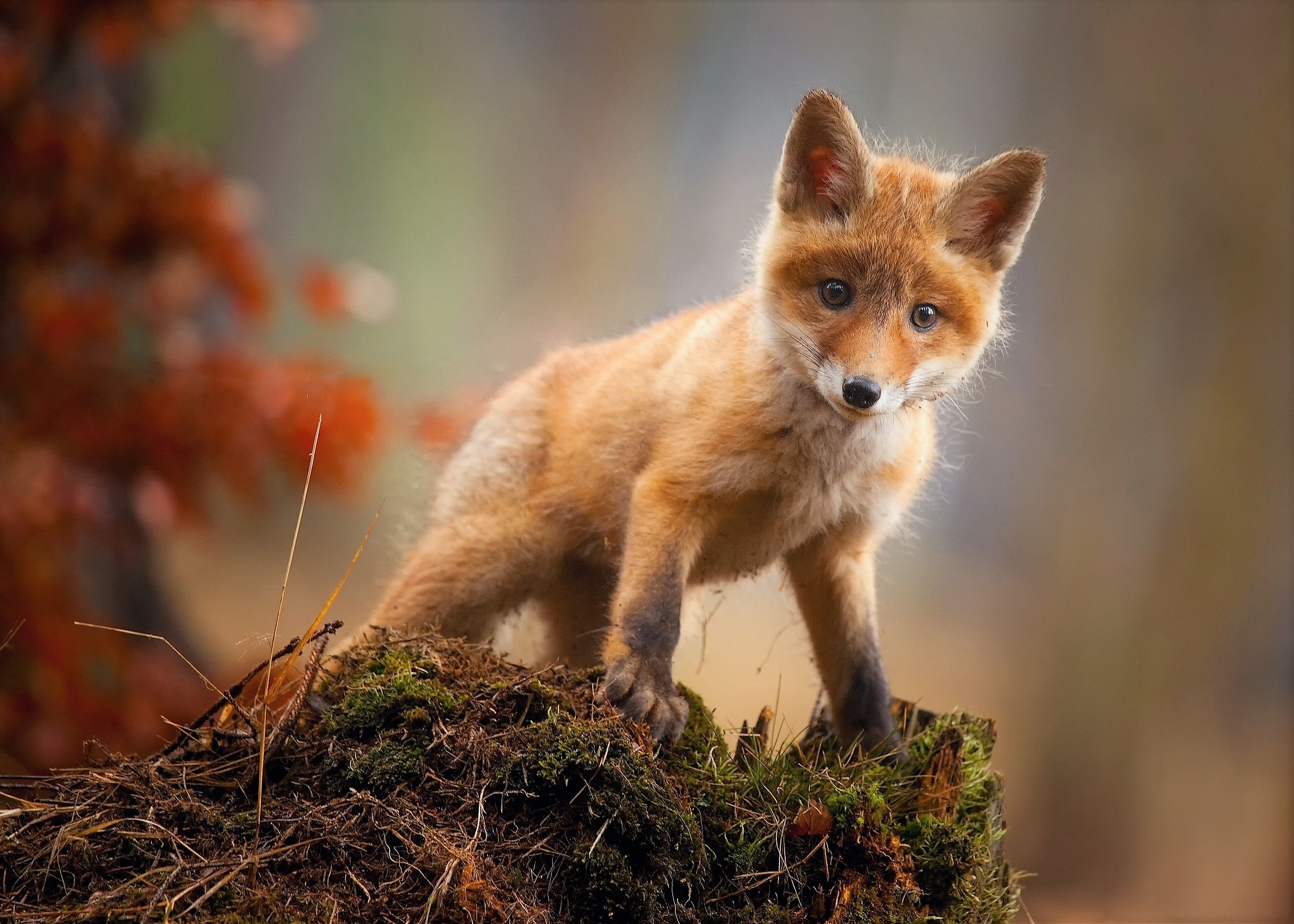 Baby Fox Wallpapers Top Free Baby Fox Backgrounds Wallpaperaccess