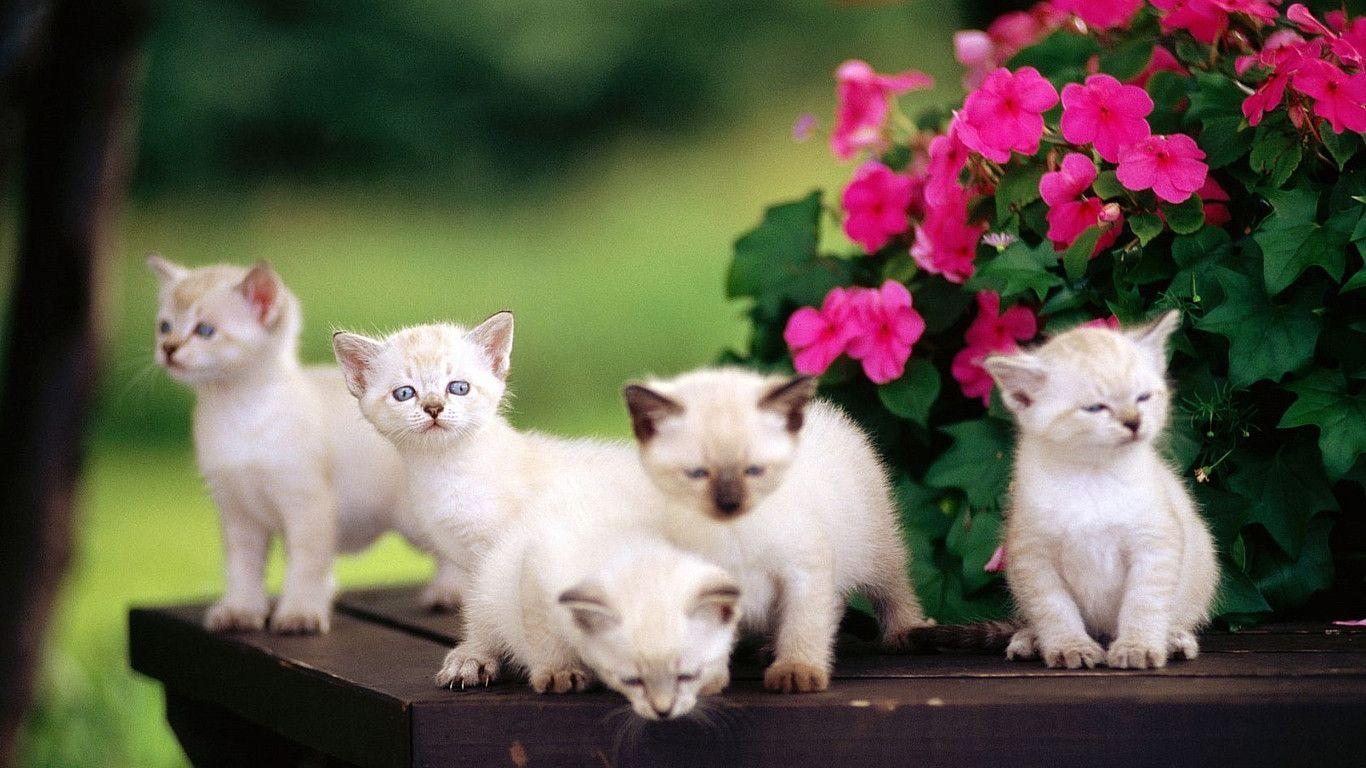 White Cat Desktop Wallpapers Top Free White Cat Desktop Backgrounds Wallpaperaccess