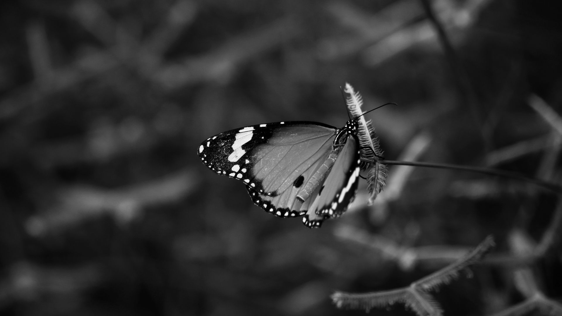 Black And White Butterfly Wallpapers Top Free Black And White Butterfly Backgrounds Wallpaperaccess