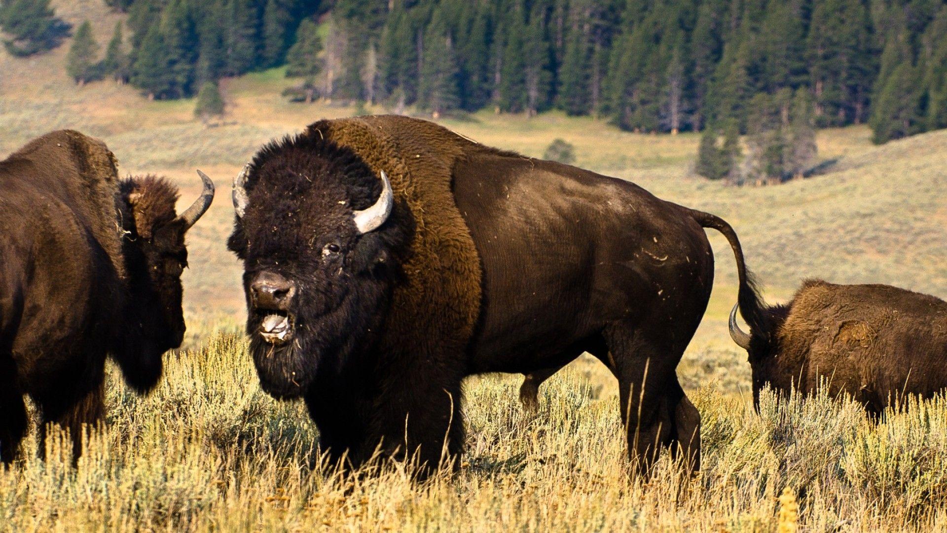 Native American Buffalo Wallpapers - Top Free Native ...
