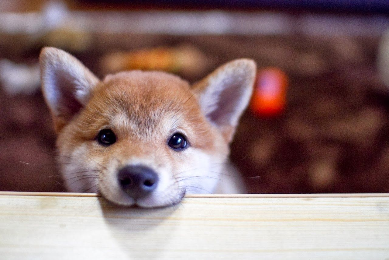 Shiba Inu Wallpapers Top Free Shiba Inu Backgrounds Wallpaperaccess