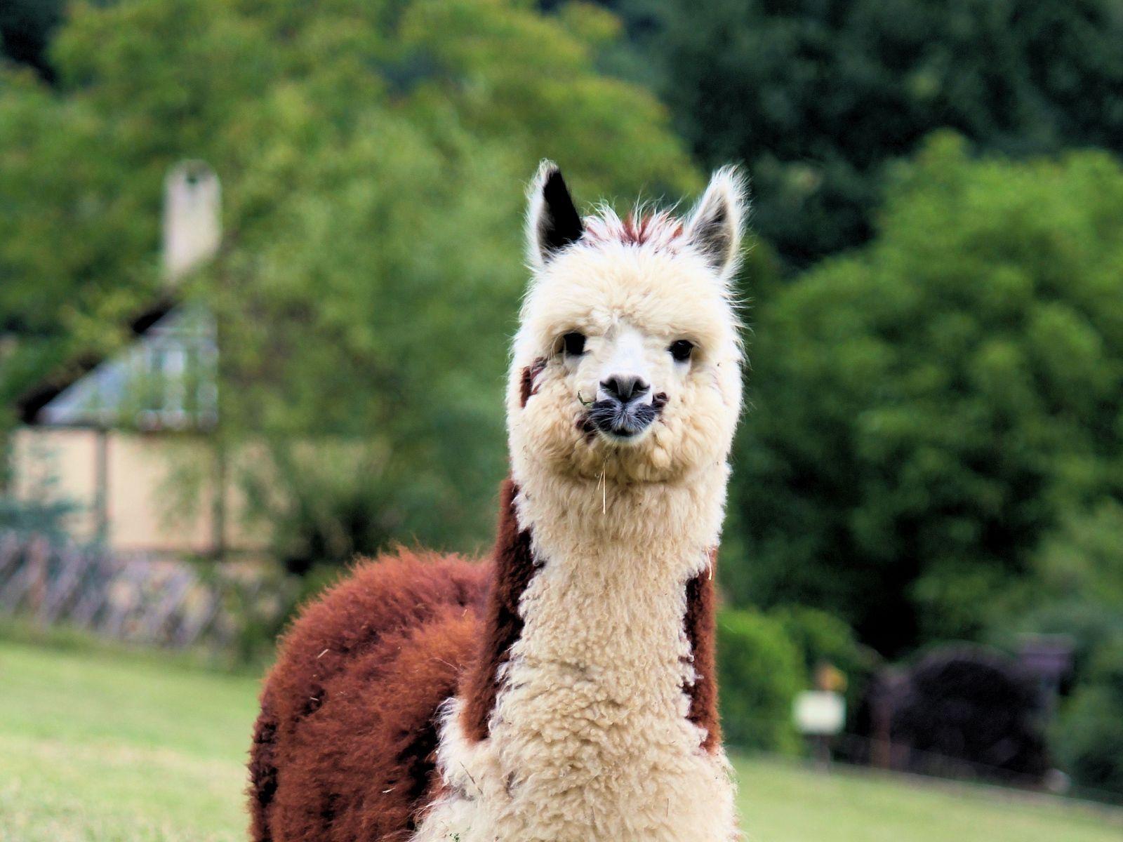 Funny Llama Wallpapers Top Free Funny Llama Backgrounds Wallpaperaccess