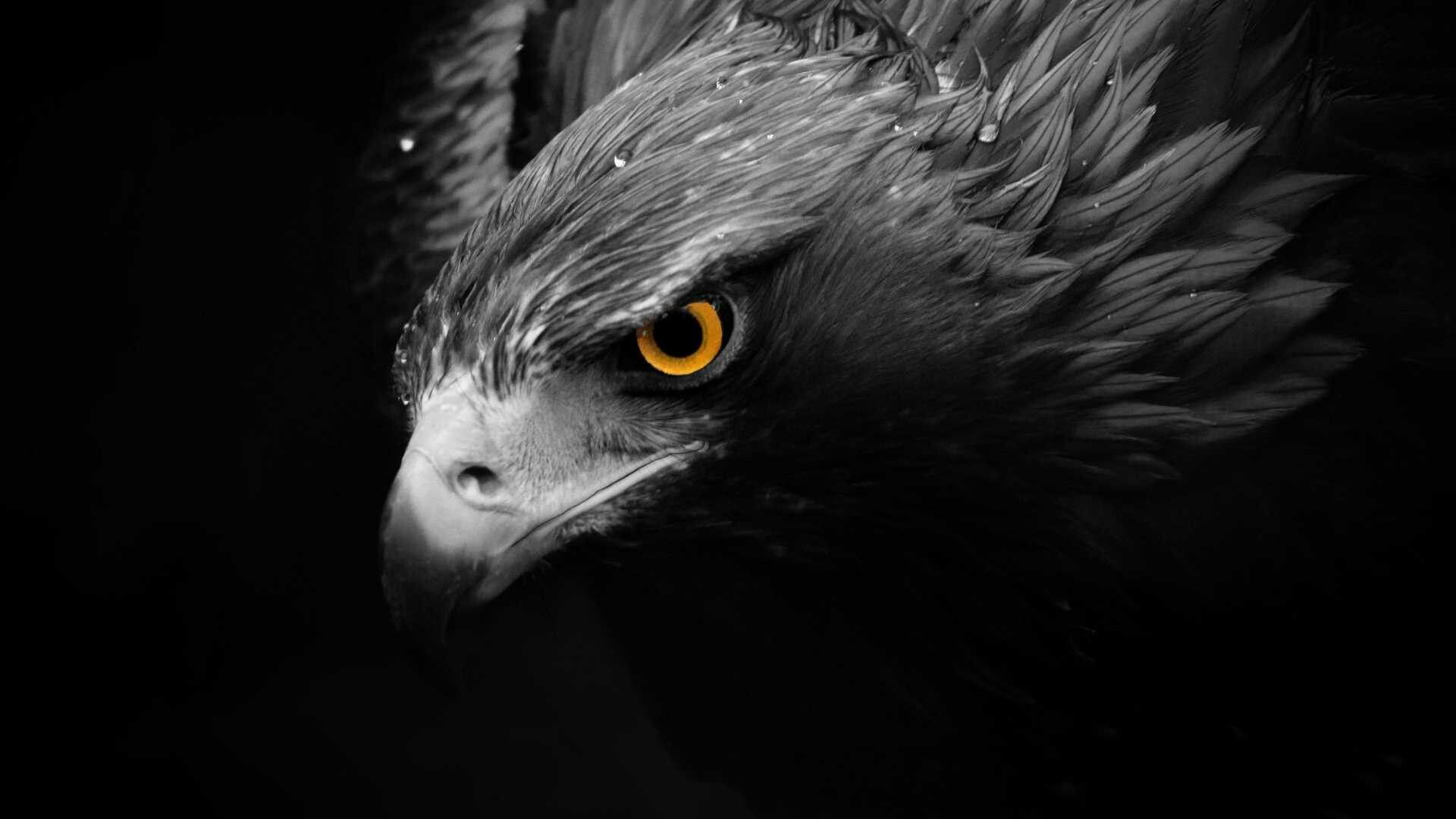 Black Eagle Hd Wallpapers Top Free Black Eagle Hd Backgrounds Wallpaperaccess