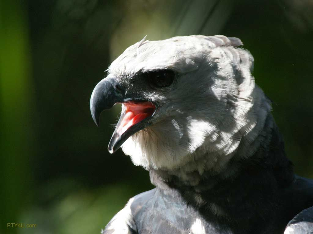 Harpy Eagle Wallpapers - Top Free Harpy ...