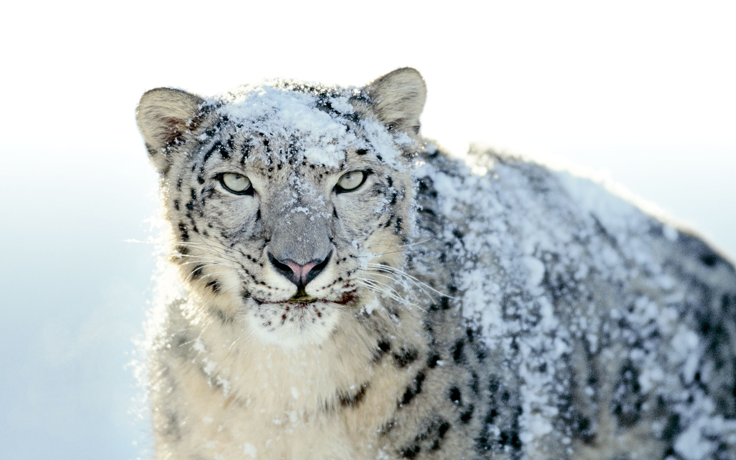 Snow Leopard Wallpapers - Top Free Snow ...