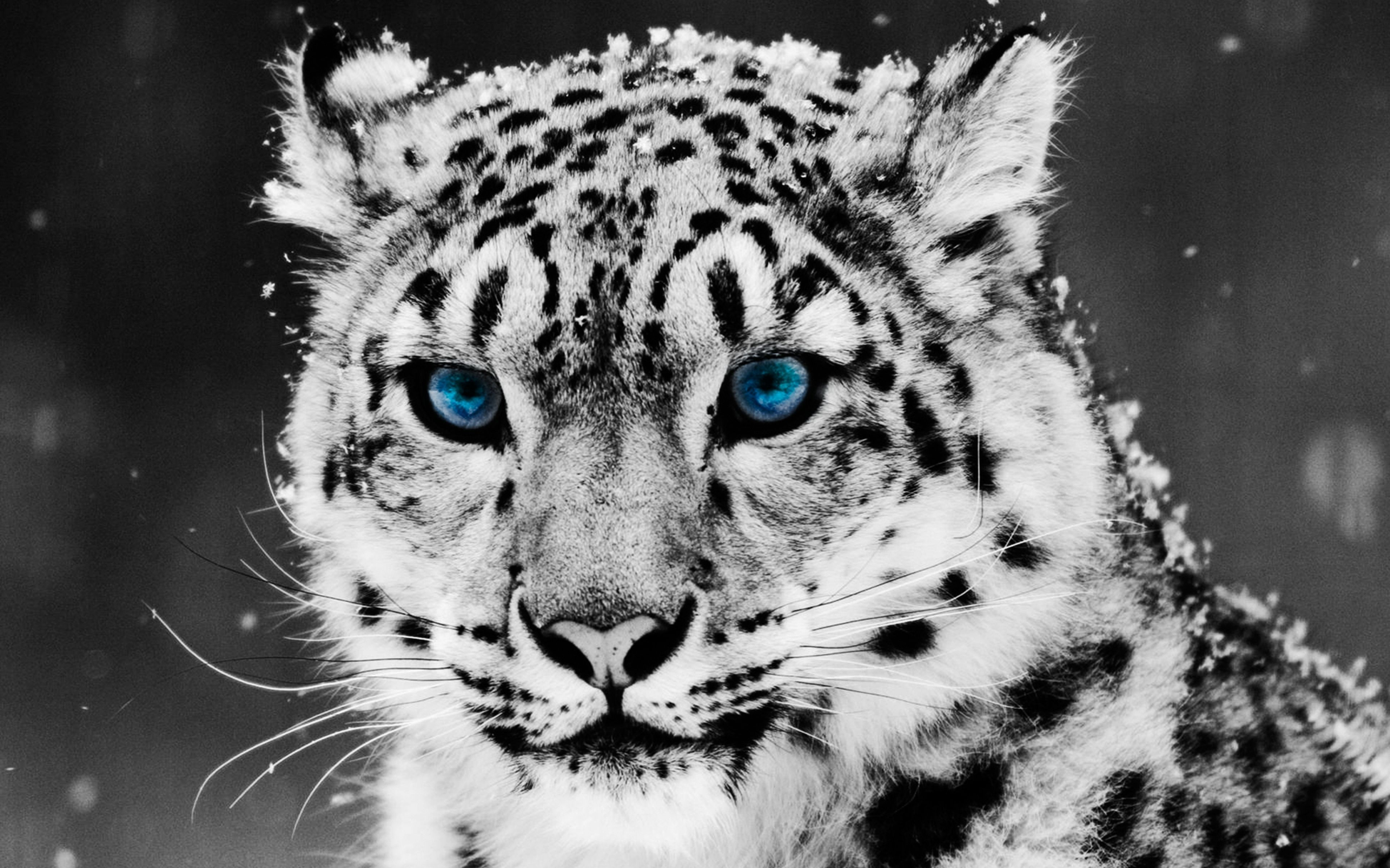Snow Leopard Wallpapers Top Free Snow Leopard Backgrounds Wallpaperaccess