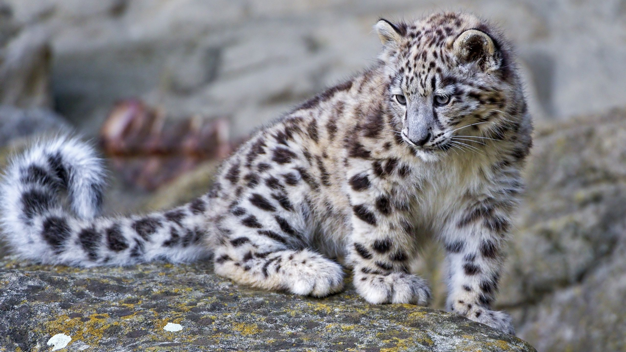 Snow Leopard Wallpapers Top Free Snow Leopard Backgrounds