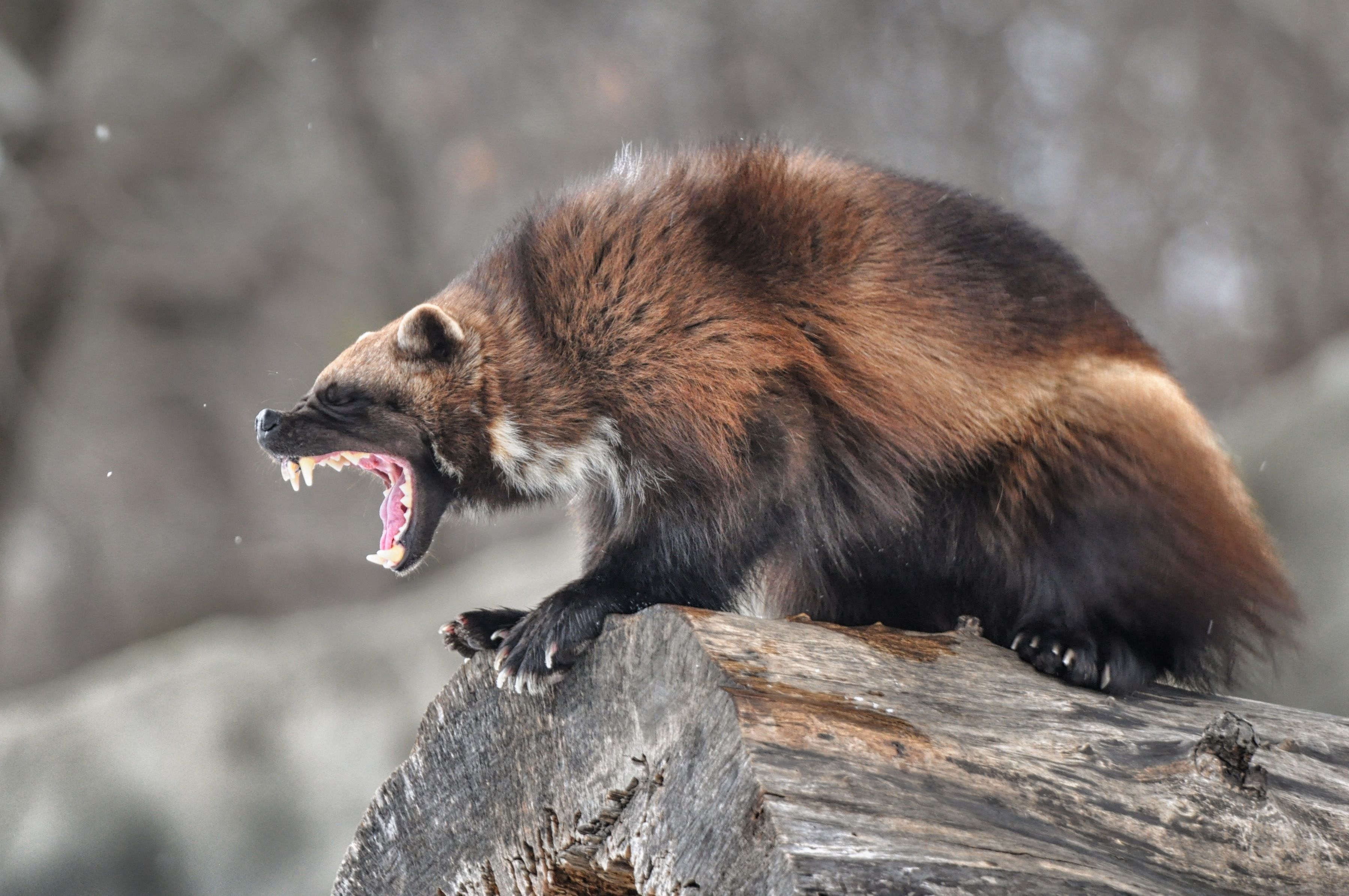46 best free wolverine animal wallpapers - wallpaperaccess