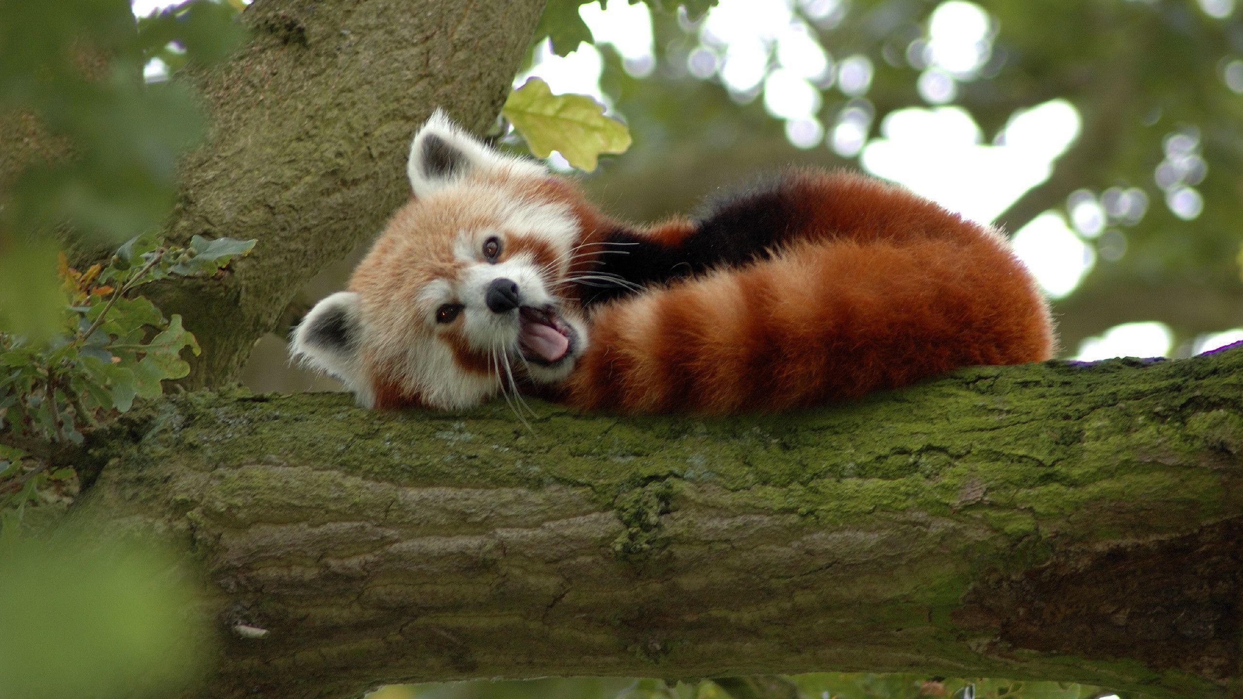 Red Panda Wallpapers Top Free Red Panda Backgrounds Wallpaperaccess