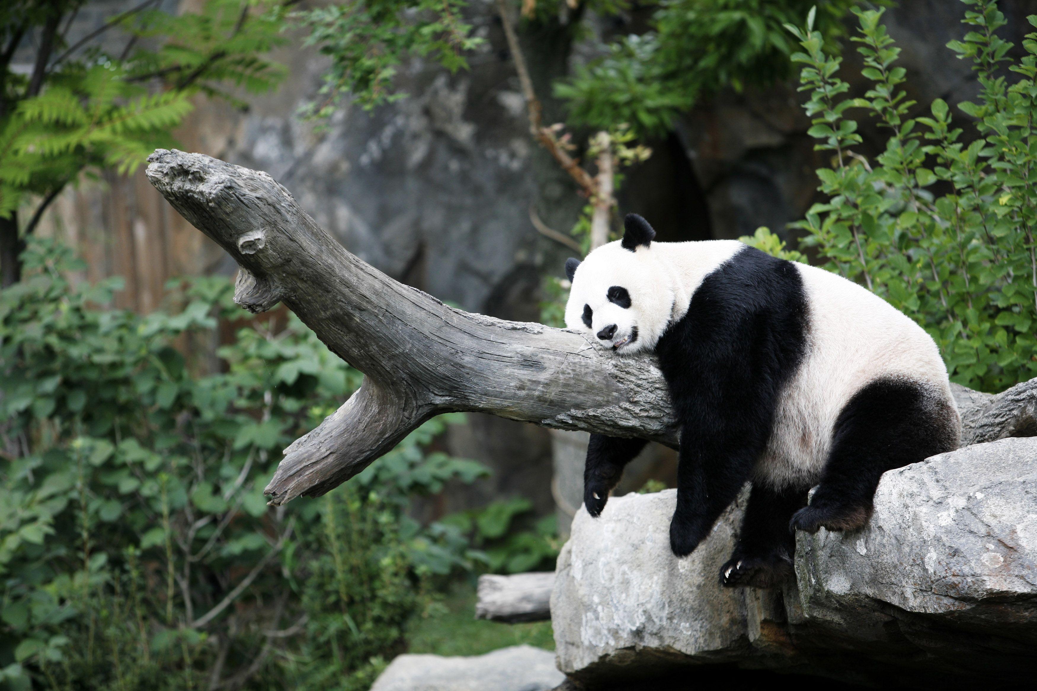 Sleeping Panda Wallpapers Top Free Sleeping Panda Backgrounds Wallpaperaccess