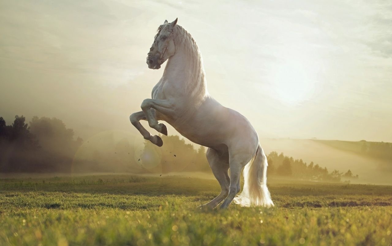 White Horse Wallpapers Top Free White Horse Backgrounds