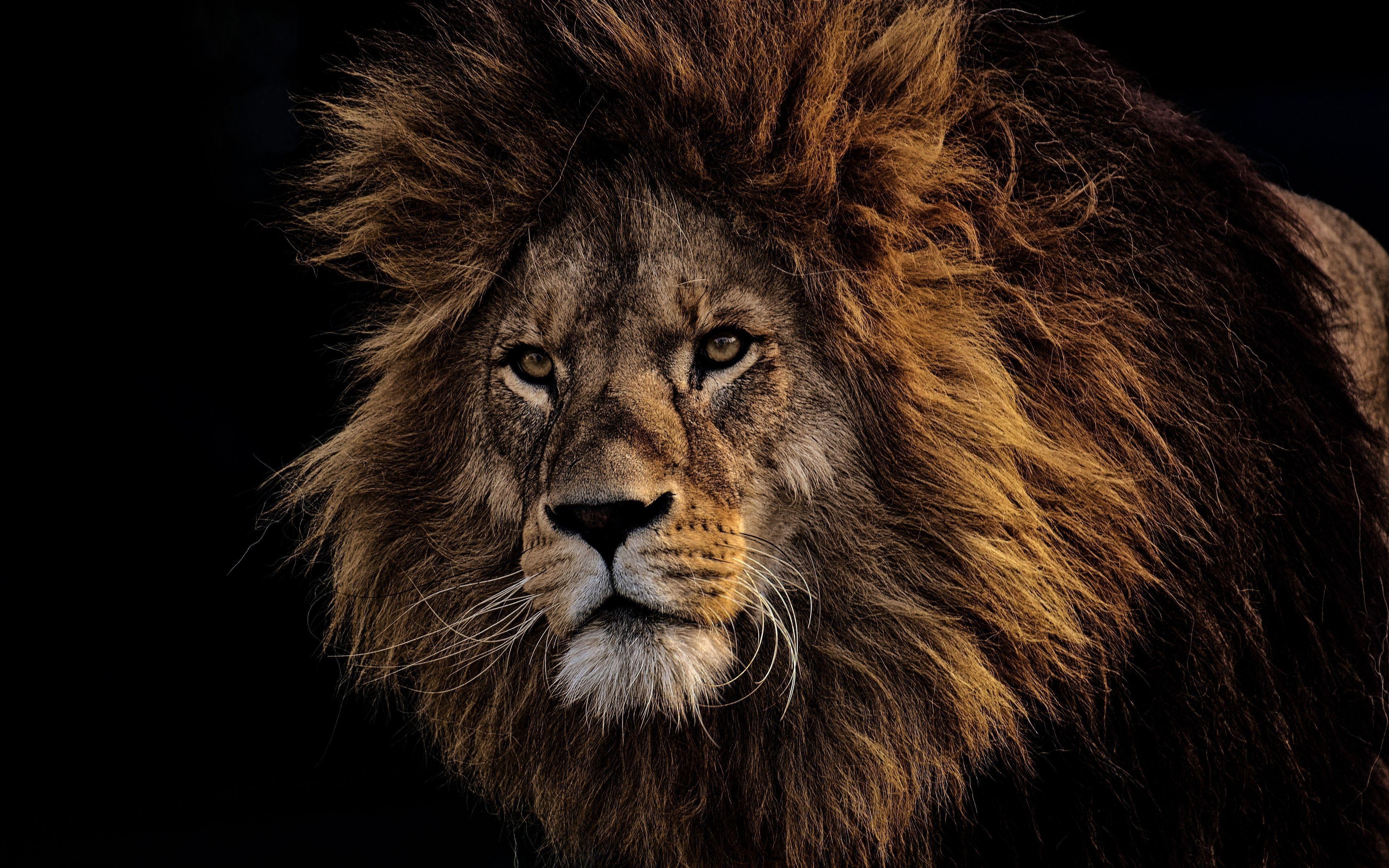 4k Ultra Hd Lion Wallpapers Top Free 4k Ultra Hd Lion Backgrounds Wallpaperaccess