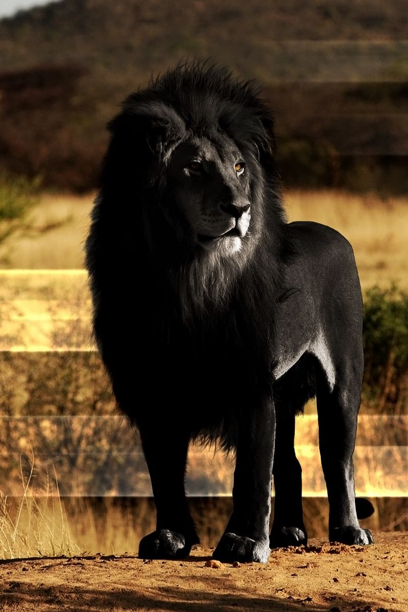 Black Lion Iphone Wallpapers Top Free Black Lion Iphone Backgrounds Wallpaperaccess