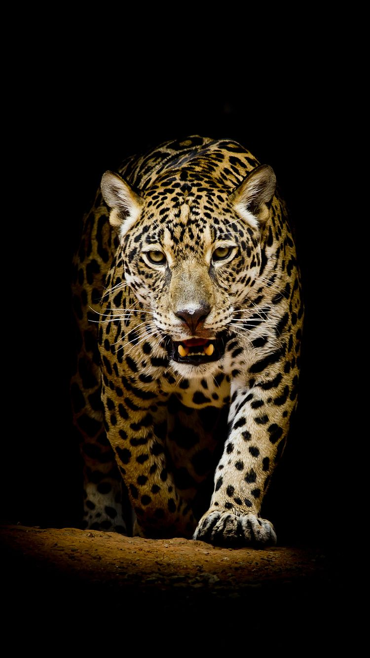 Leopard Iphone Wallpapers Top Free Leopard Iphone Backgrounds Wallpaperaccess