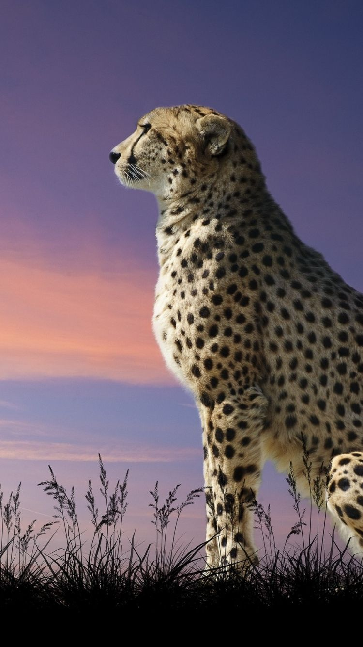 Black Leopard Iphone Wallpapers Top Free Black Leopard Iphone Backgrounds Wallpaperaccess
