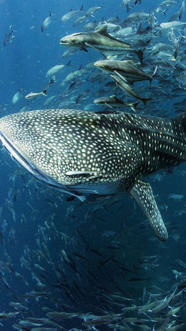 Whale Shark Wallpapers Top Free Whale Shark Backgrounds Wallpaperaccess