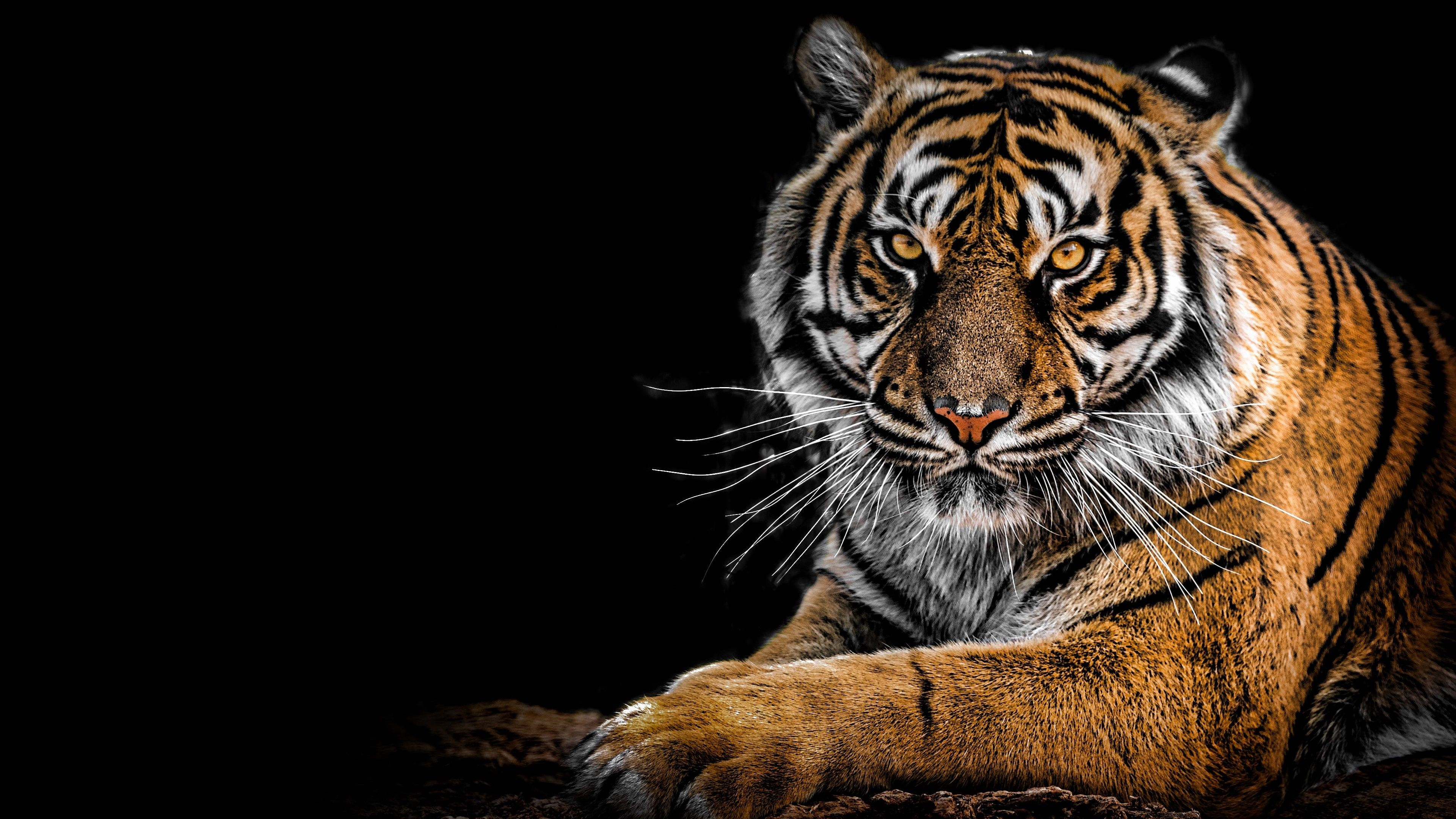 Tiger 4k Wallpapers Top Free Tiger 4k Backgrounds Wallpaperaccess
