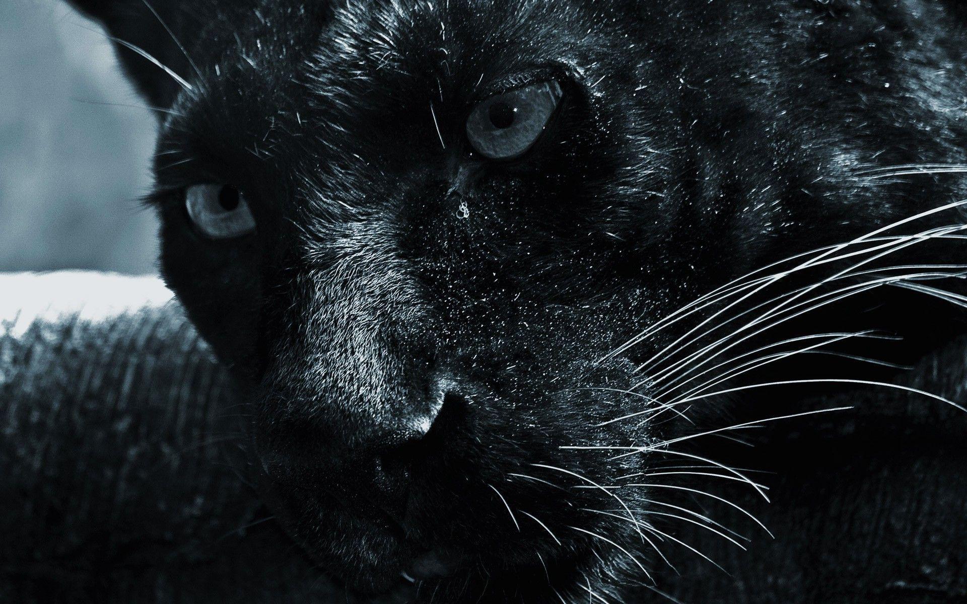 Beautiful Panther Wallpapers Top Free Beautiful Panther