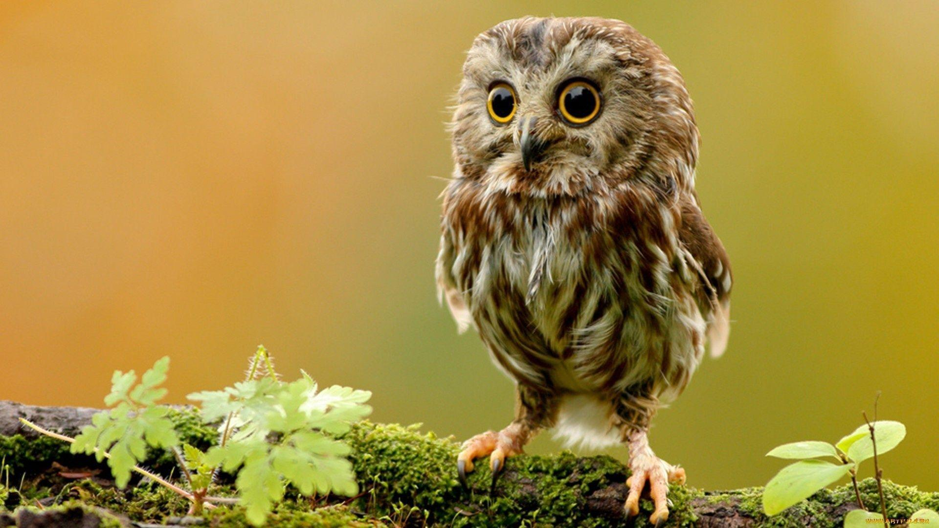 Owl Wallpapers Top Free Owl Backgrounds Wallpaperaccess