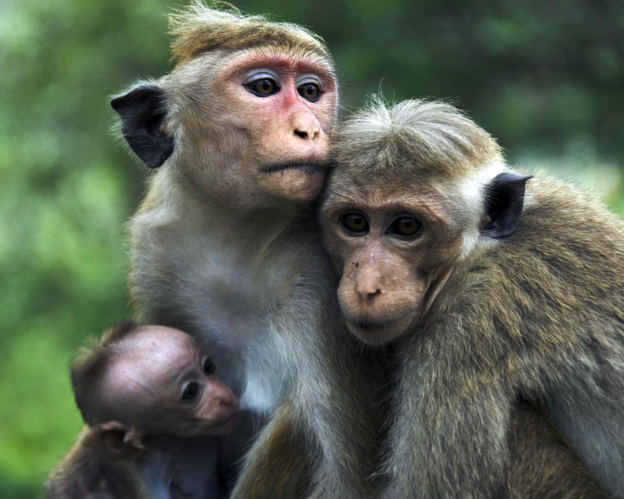 Monkey Wallpapers Top Free Monkey Backgrounds