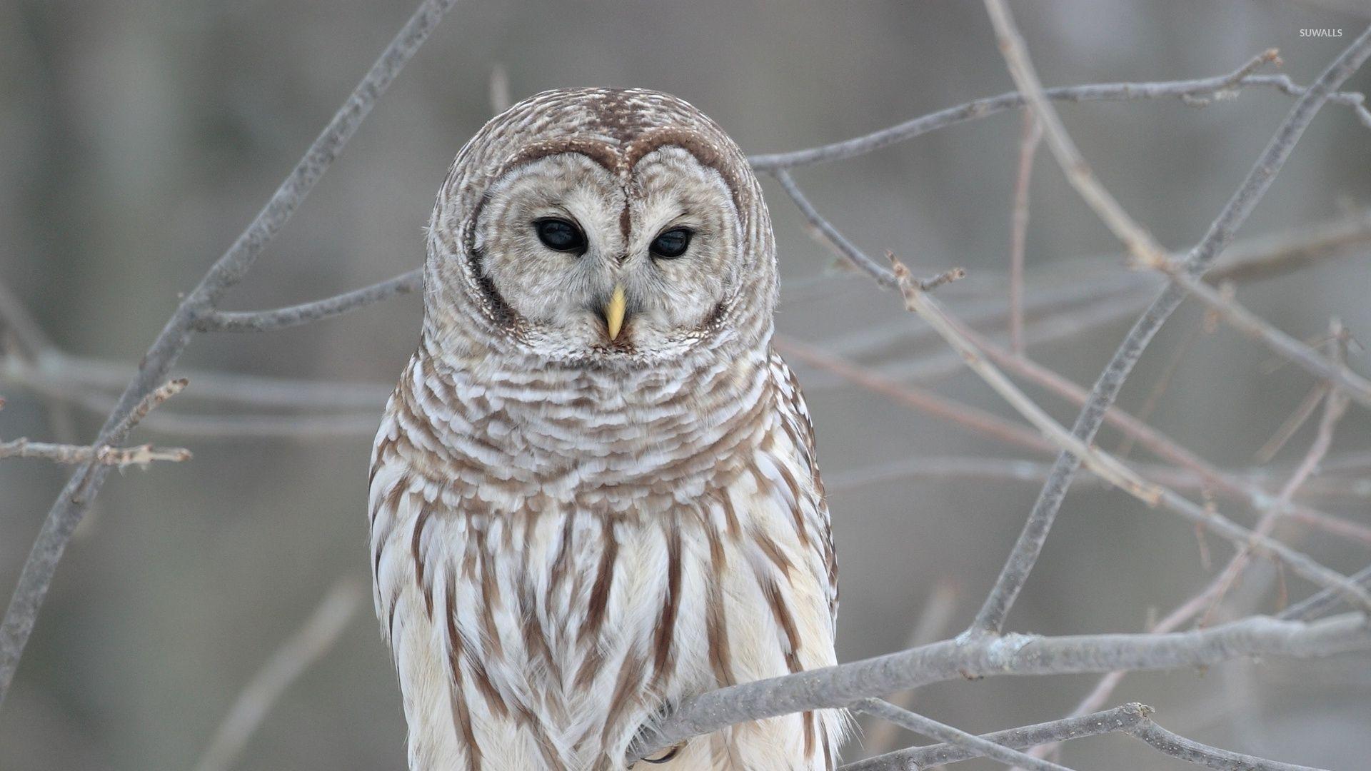 Wallpaper Owl Strix Asus Hd 4k Creative Graphics 10199: Top Free Owl Backgrounds
