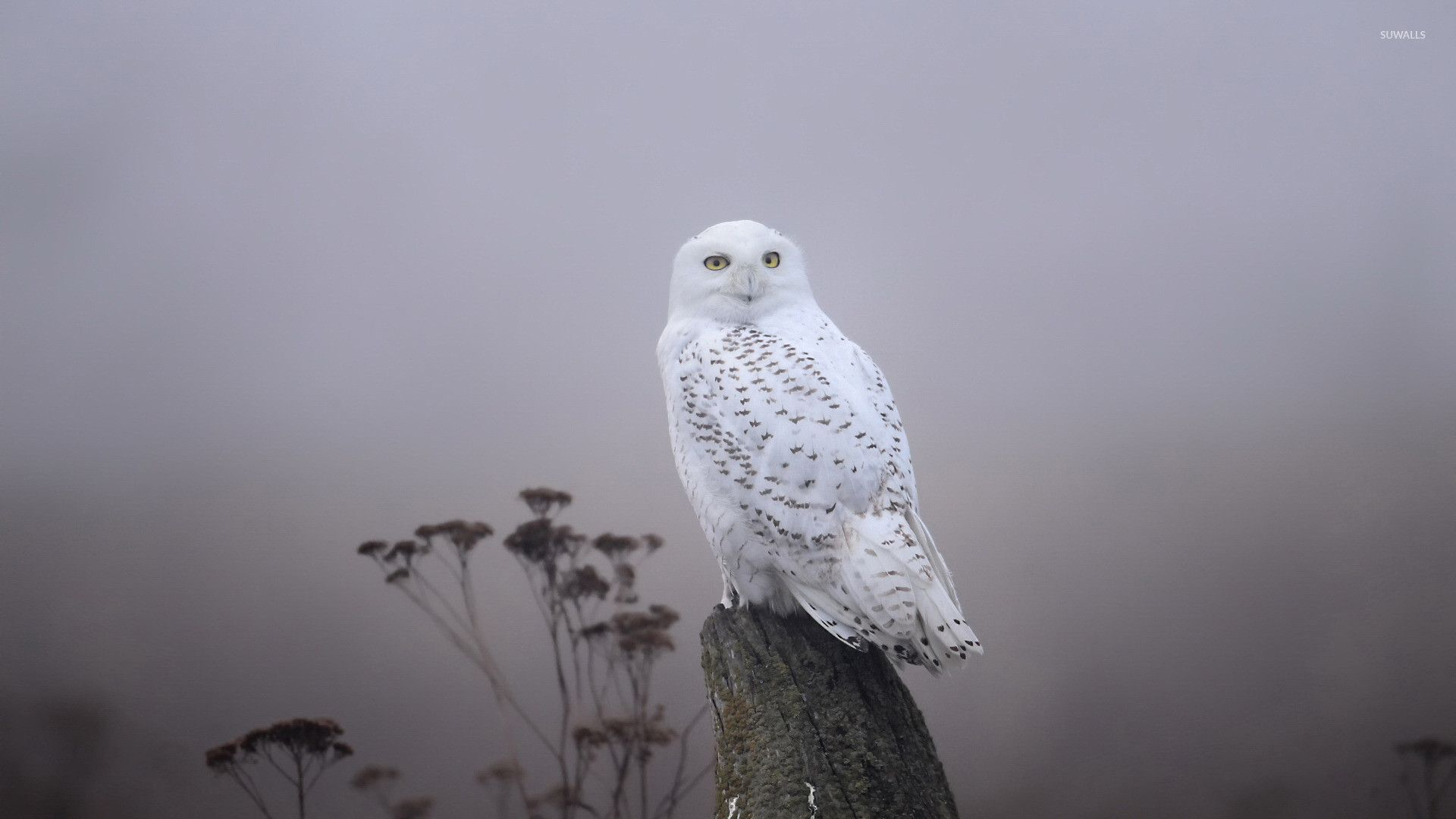 White Owl Wallpapers Top Free White Owl Backgrounds