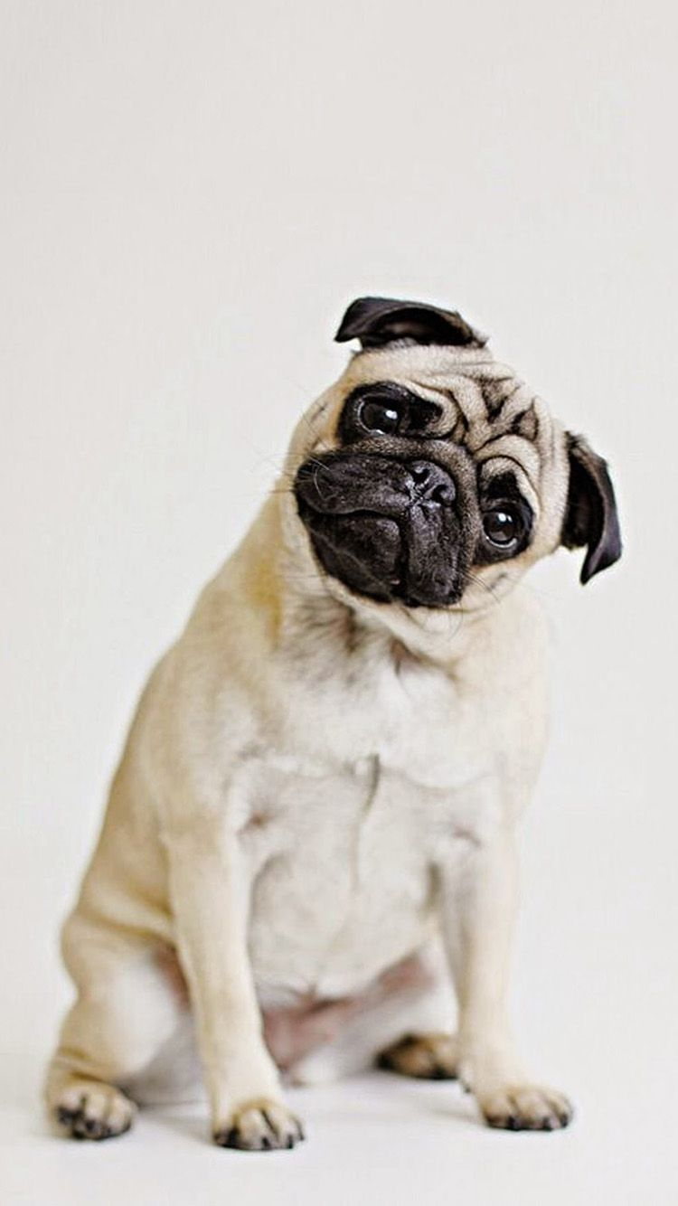 Pug Iphone Wallpapers Top Free Pug Iphone Backgrounds