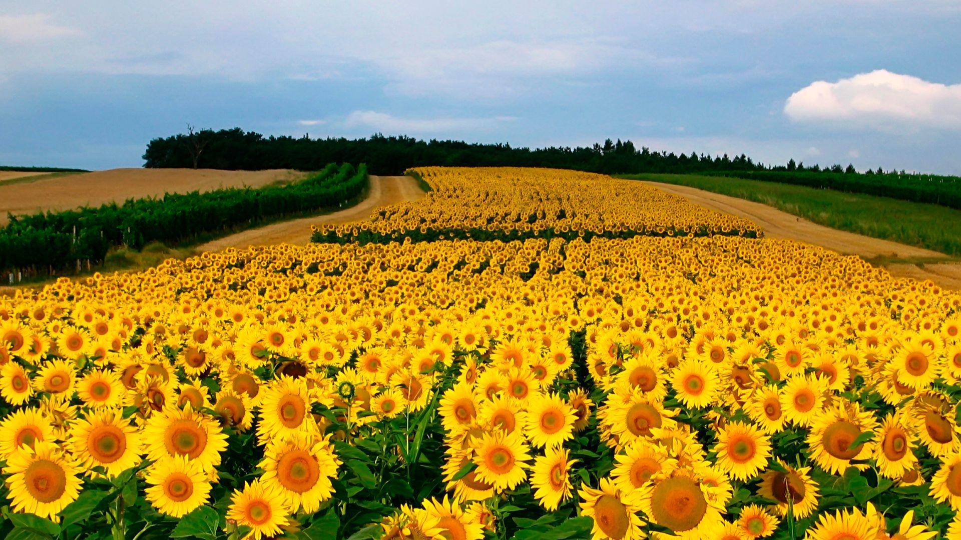 Sunflower Field Wallpapers Top Free Sunflower Field Backgrounds Wallpaperaccess