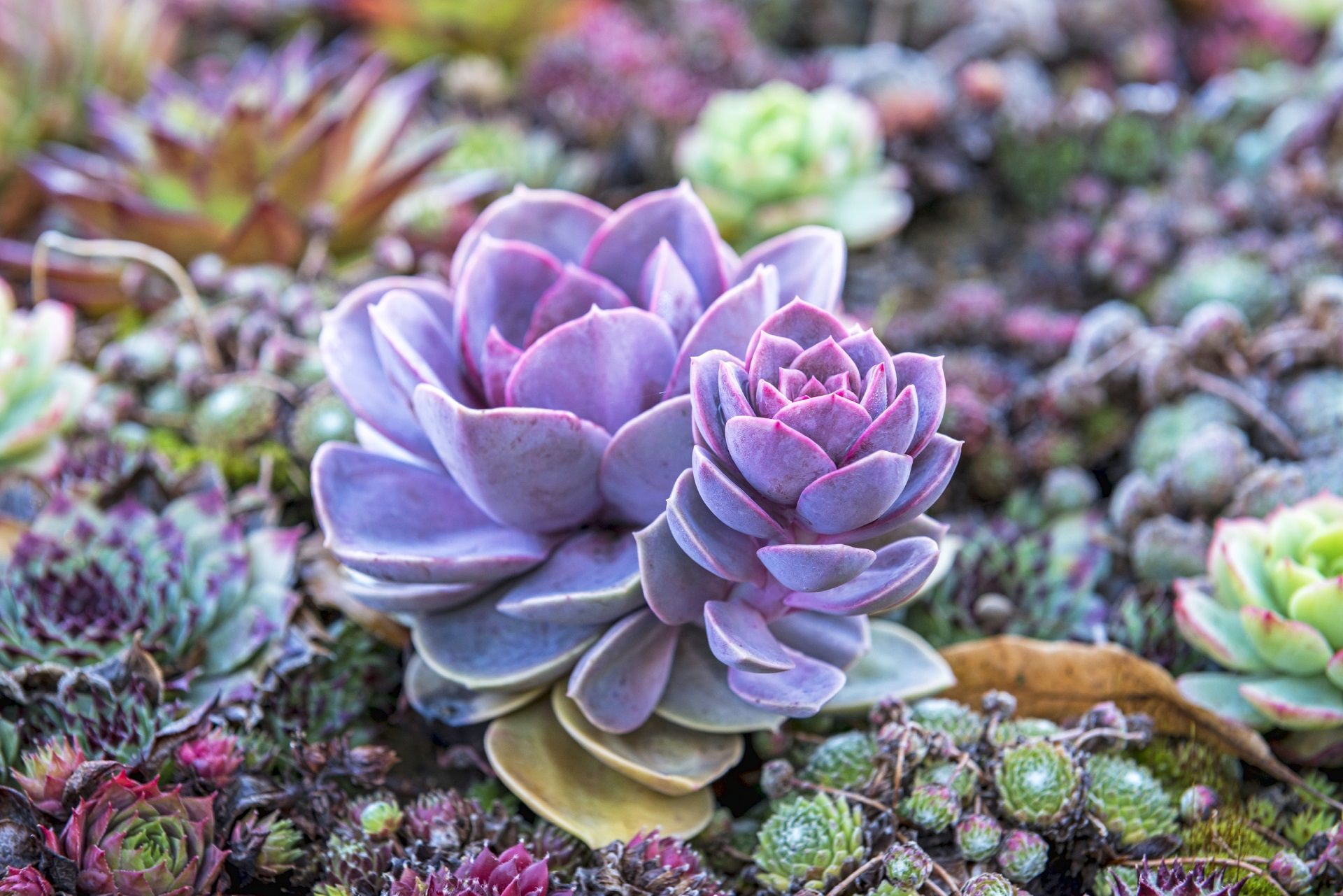 Succulent Desktop Wallpapers Top Free Succulent Desktop Backgrounds Wallpaperaccess