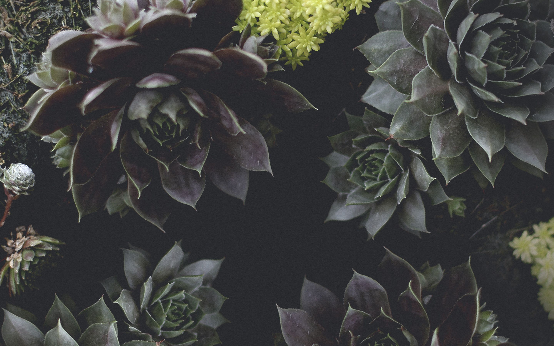 Succulent Desktop Wallpapers Top Free Succulent Desktop Backgrounds Wallpaperaccess