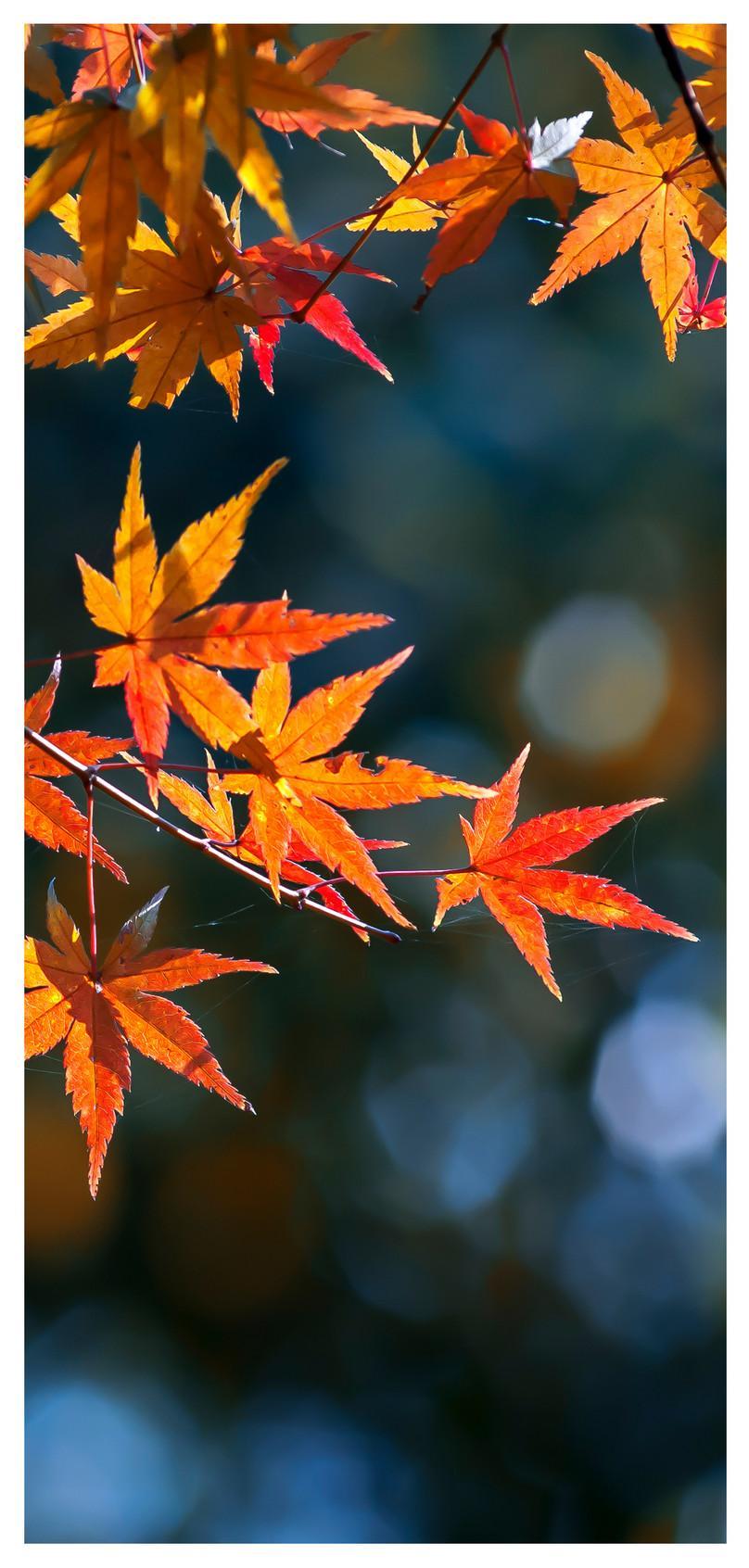 Hình nền điện thoại di động 808x1692 Maple Leaf In Late Autumn - Wallpaper