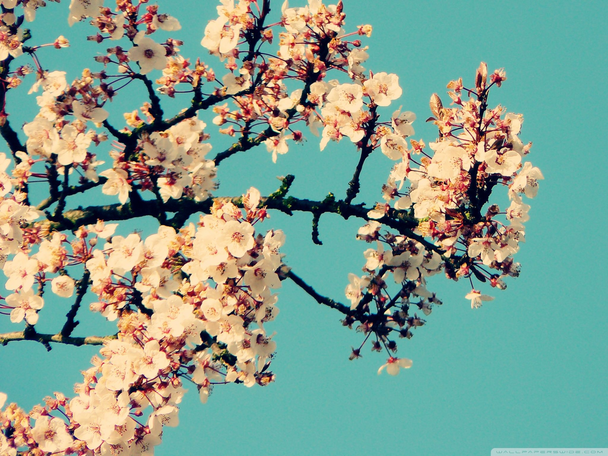 68 Best Free Cherry Blossom Vintage Wallpapers Wallpaperaccess