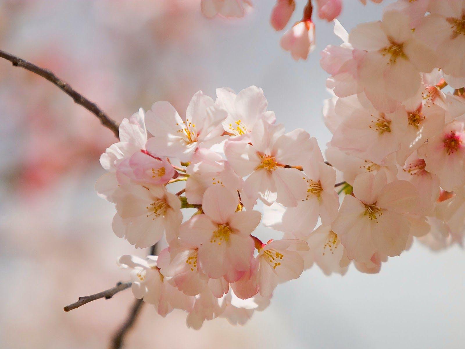 68 Best Free Cherry Blossom Vintage Wallpapers