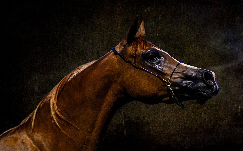 Arabian Horse Wallpapers Top Free Arabian Horse Backgrounds Wallpaperaccess