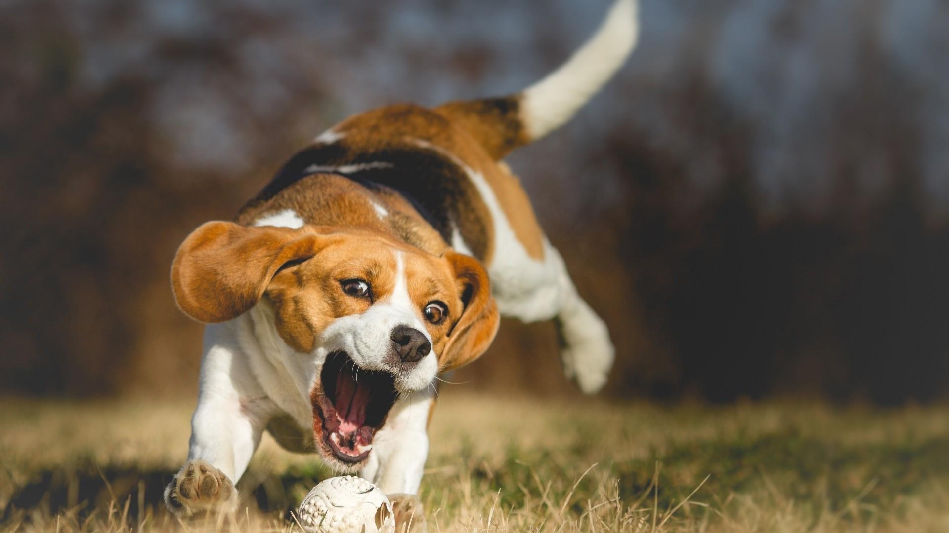 Beagle Wallpapers Top Free Beagle Backgrounds Wallpaperaccess