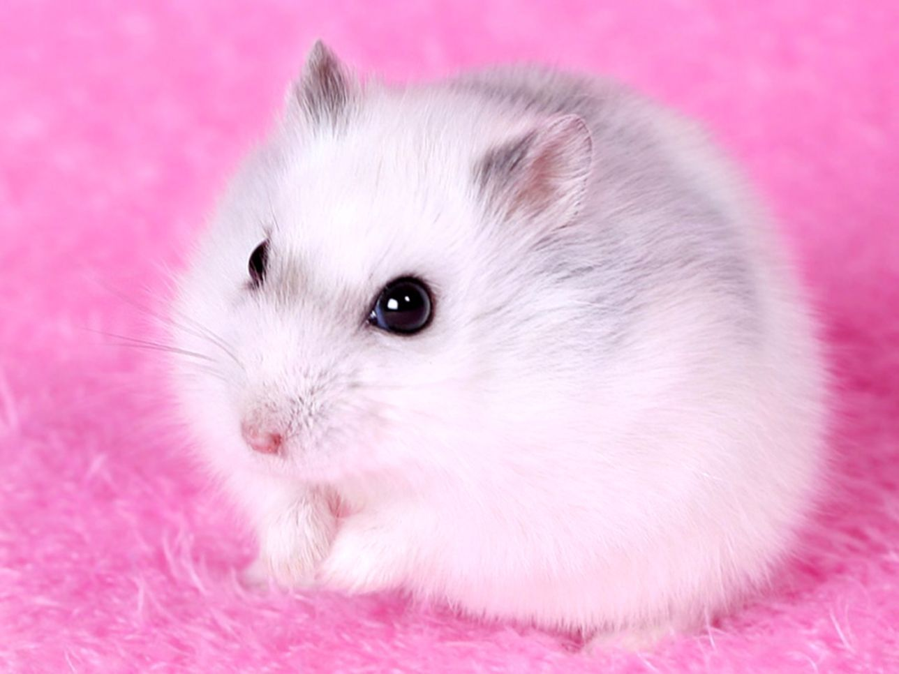 Hamster Wallpapers Top Free Hamster Backgrounds Wallpaperaccess