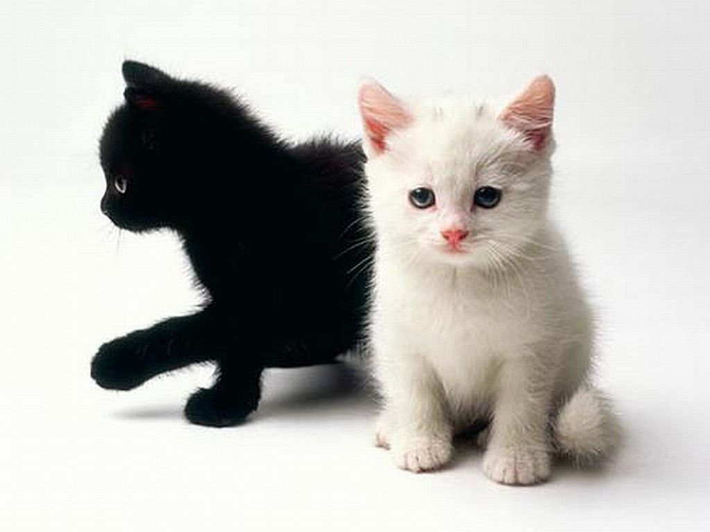 White Kitten Wallpapers Top Free White Kitten Backgrounds Wallpaperaccess