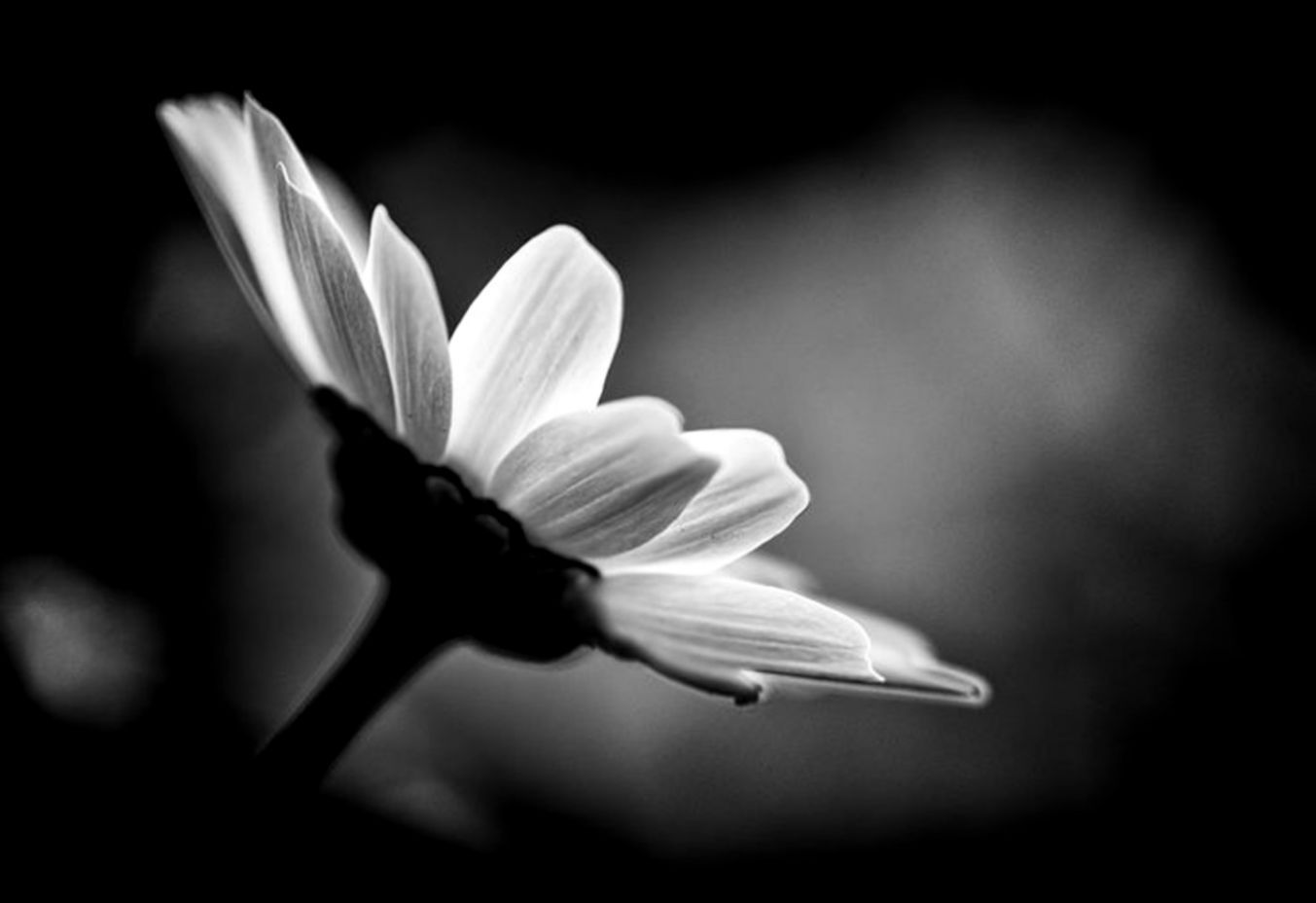 Black And White Flower Wallpapers Top Free Black And White Flower Backgrounds Wallpaperaccess